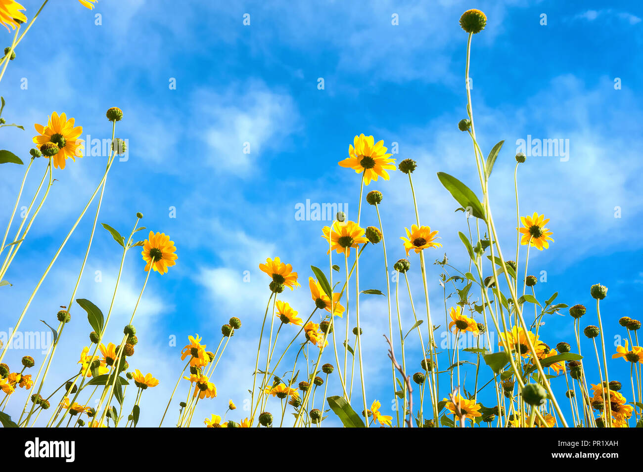 Yellow daisies against blue sky background - Stock Image