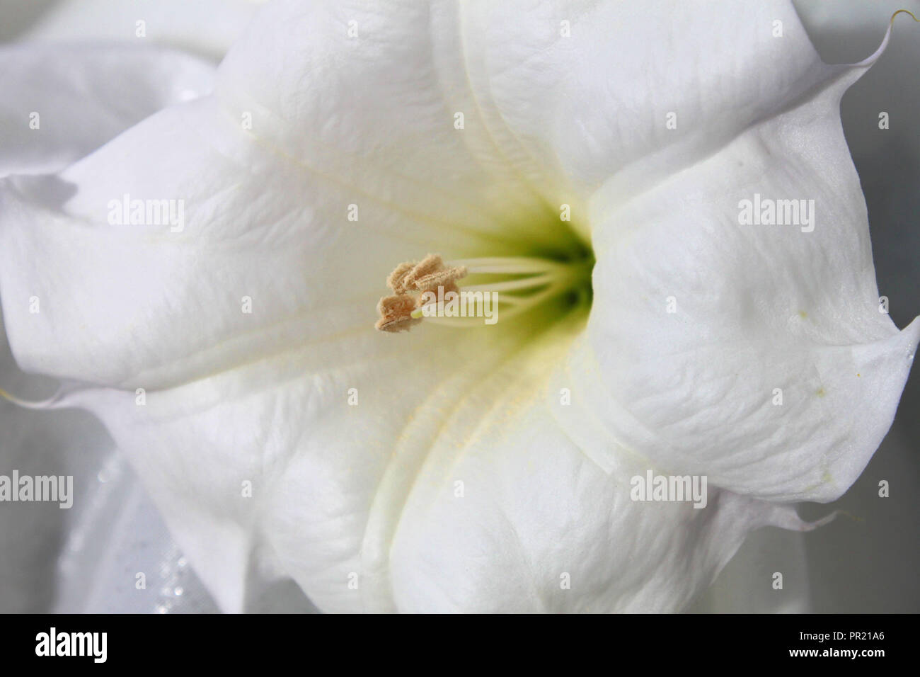 Sacred Datura Flower - Stock Image