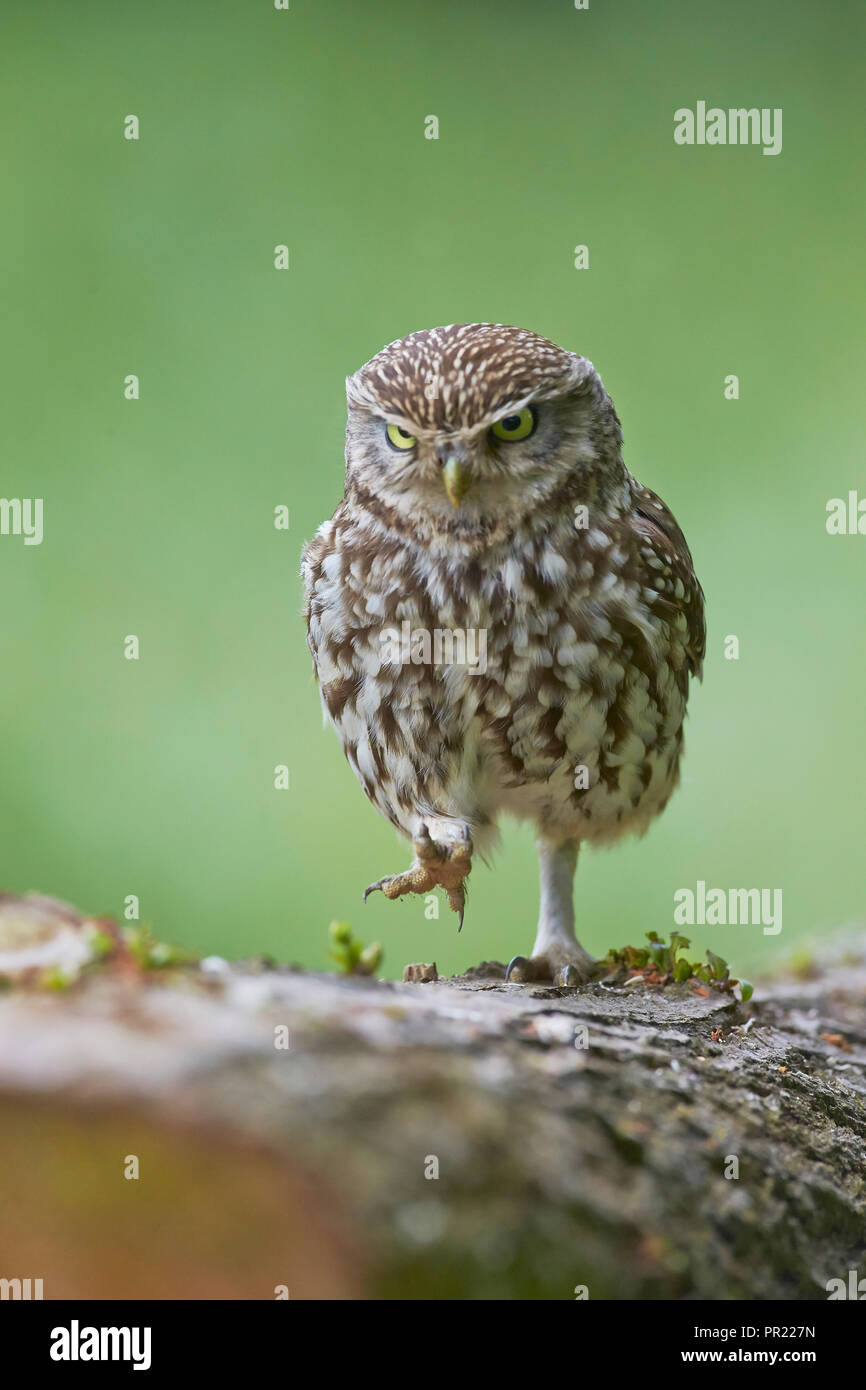 Angry Little Owl, Athene noctua, scowling and frowning whilst marching walking on a log, East Yorkshire, `uk - Stock Image