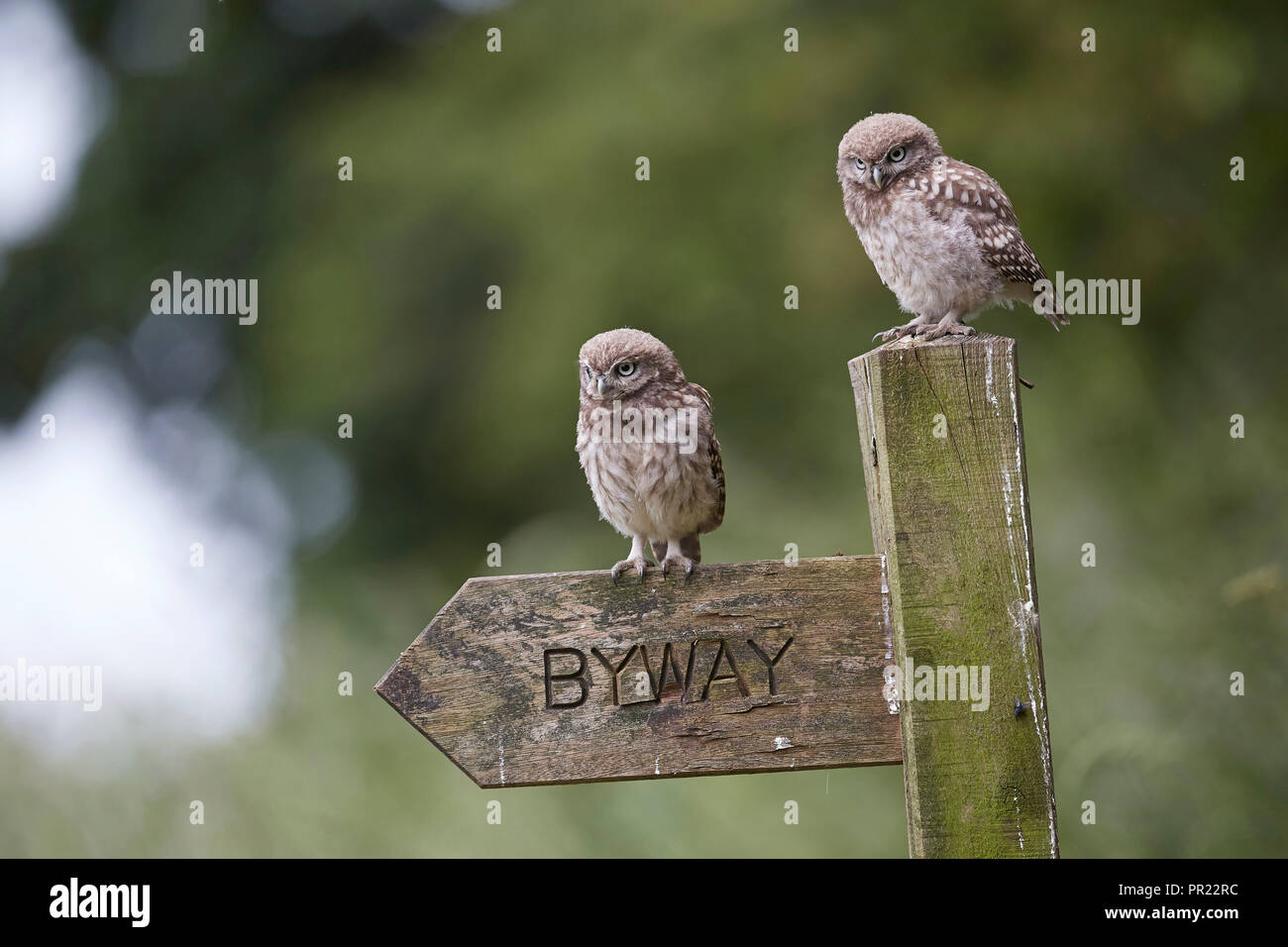 A pair of, two, Little Owl owlets standing on a byway signpost, Athene noctua, East Yorkshire, UK - Stock Image