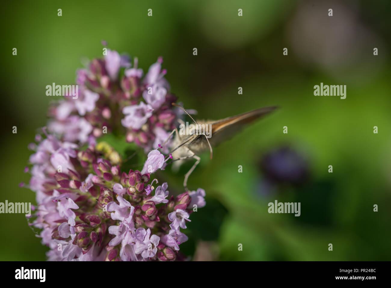 Schmetterling - Stock Image