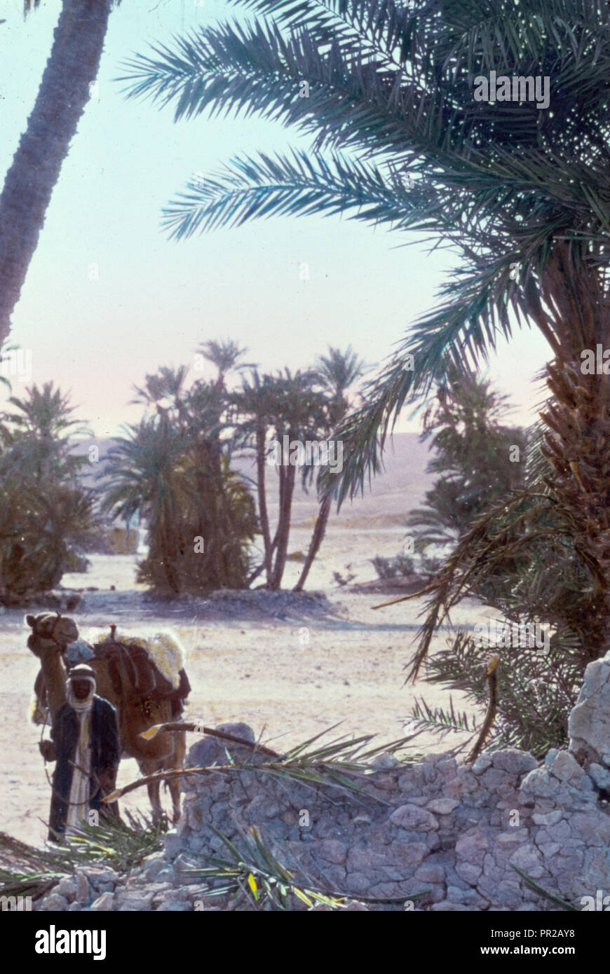 Sinai. Palm grove at el Wad. 1950, Egypt, Sinai - Stock Image