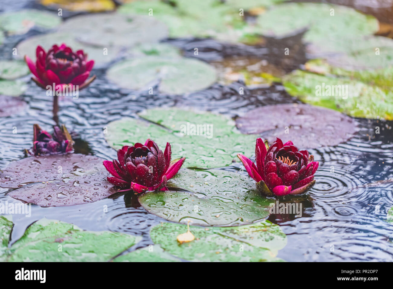 Beautiful Bright Nature Floral Background With Waterlily Red Lotus