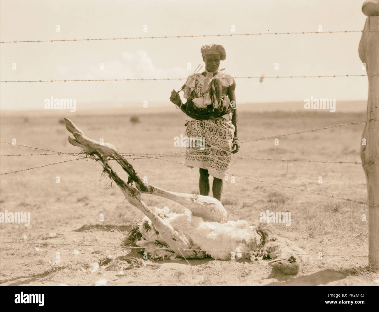 Kenya Colony. Rift Valley and en route to Nairobi. Ostrich succumbed by entanglement in barbed wire. 1936, Kenya - Stock Image