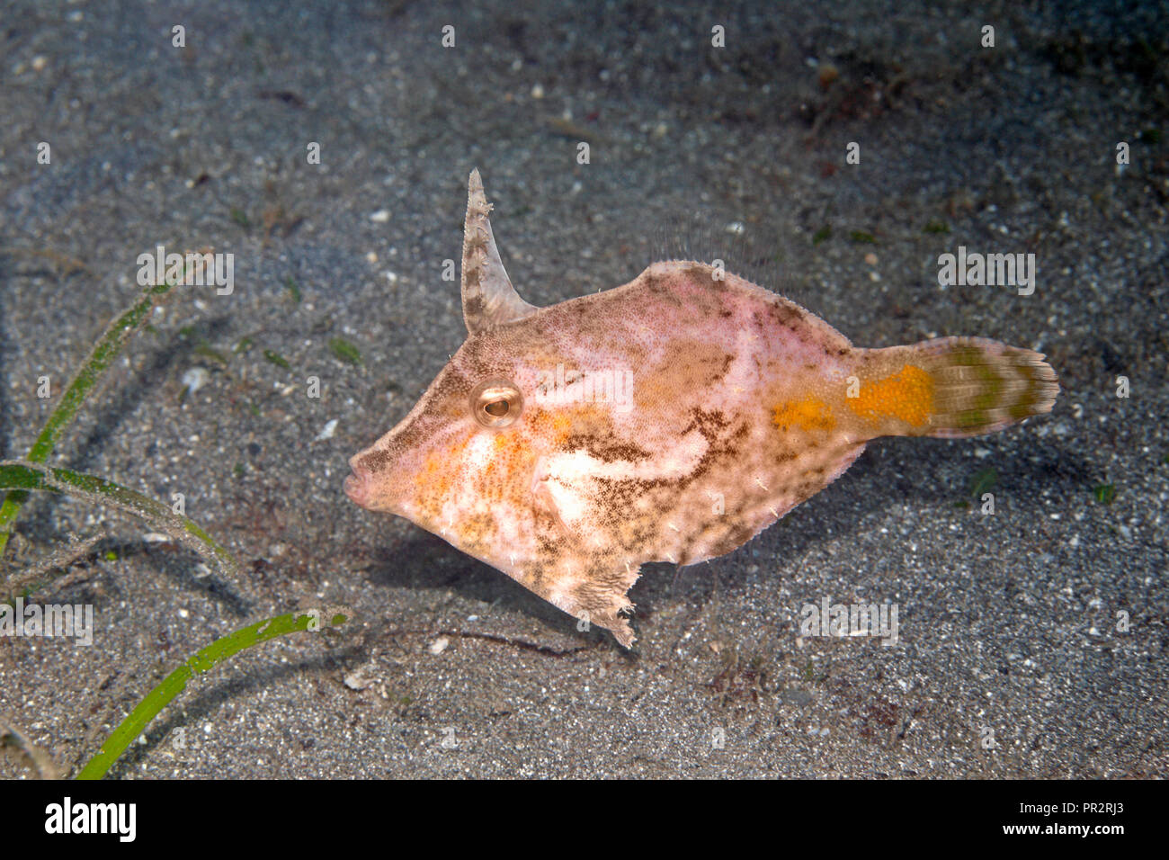 Bristle-Tail Filefish, Acreichthys tomentosus. Also known as Seagrass Filefish. Pemuteran, Bali, Indonesia. Bali Sea, Indian Ocean - Stock Image