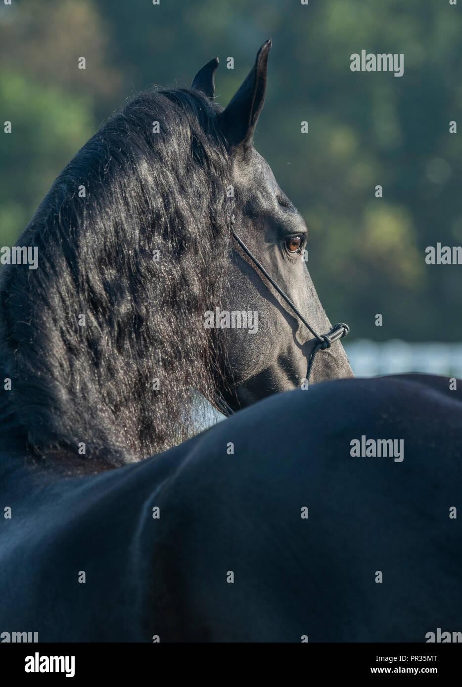 Friesian Horse stallion - Stock Image