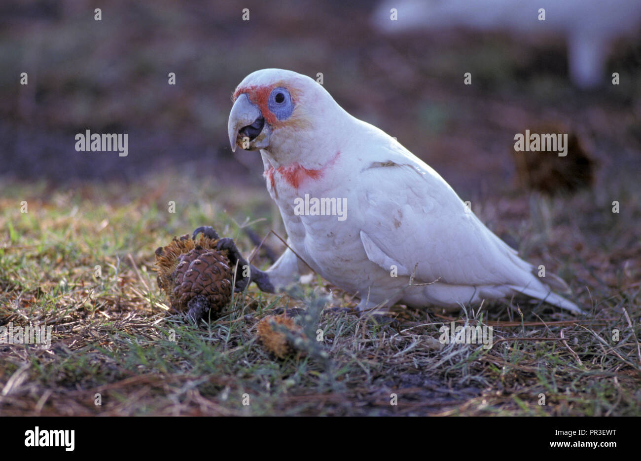 LONG-BILLED CORELLA (CACATUA TENUIROSTRIS) ALSO KNOWN AS SLENDER-BILLED CORELLA SEEN HERE FEEDING ON A PINE CONE, NEW SOUTH WALES, AUSTRALIA. - Stock Image