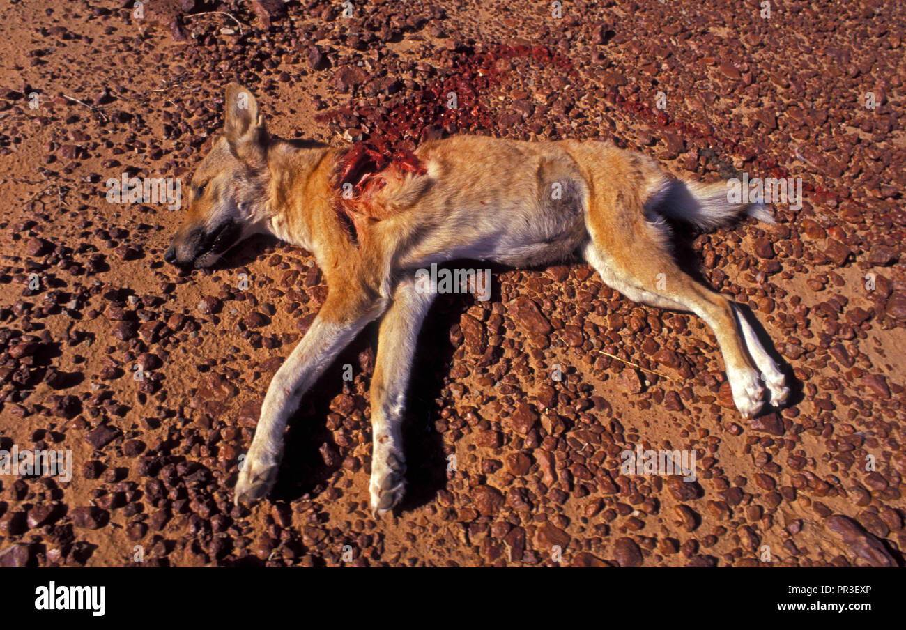 YOUNG DINGO (CANIS FAMILIARIS) KILLED BY WEDGE-TAILED EAGLE, NORTHERN TERRITORY, AUSTRALIA - Stock Image