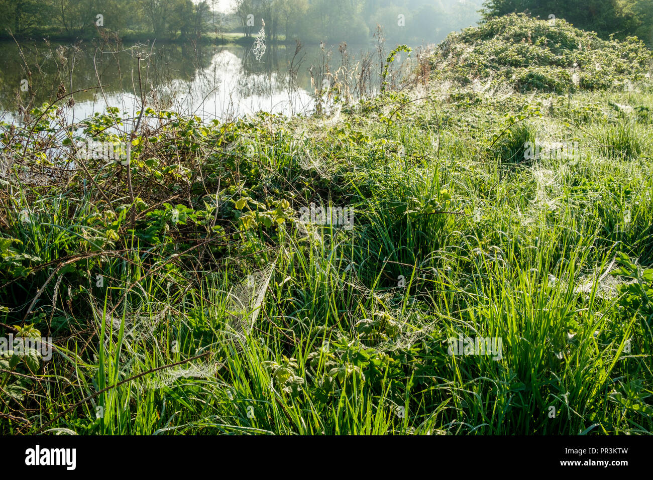 Early morning dew on spider's webs and grass by the River Trent, Nottinghamshire, England, UK - Stock Image