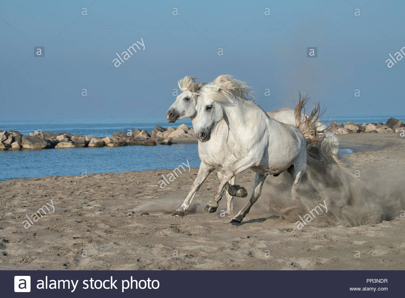 Two white horses running on the beach in Camargue, France - Stock Image
