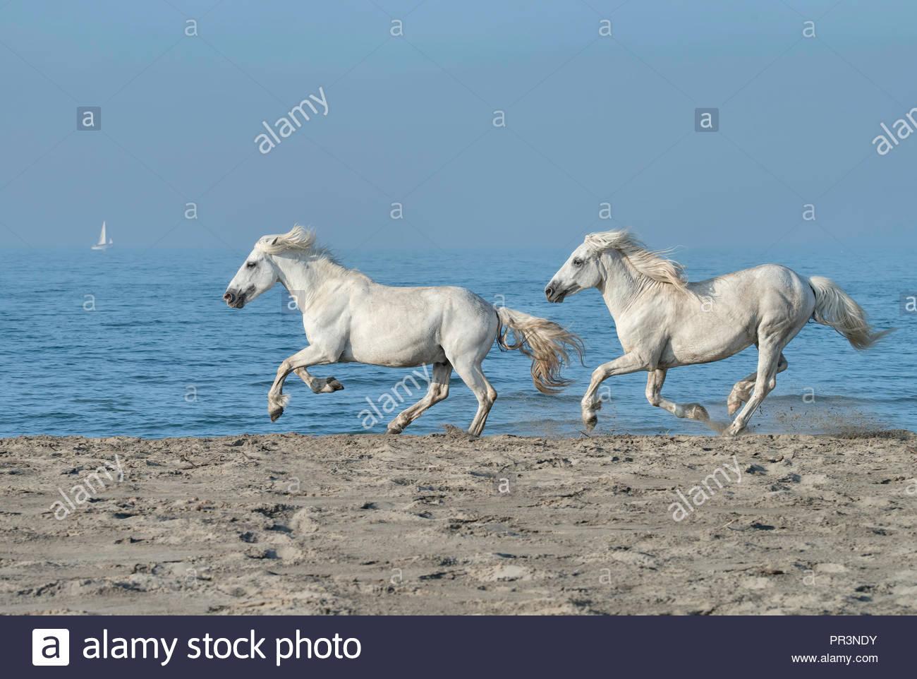 Horses Running Beach Stock Photos Horses Running Beach Stock