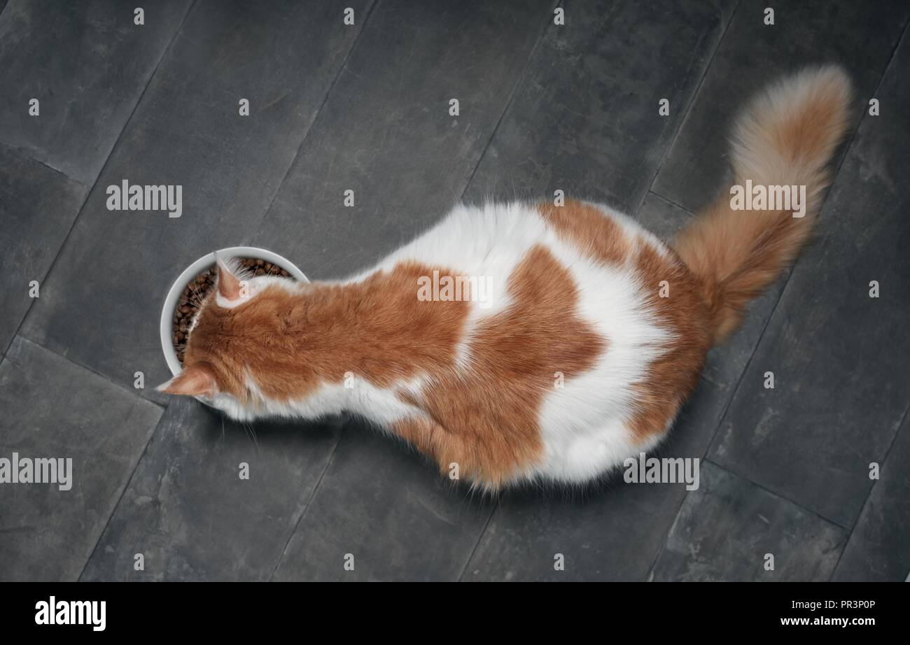 Tabby cat seen from above while eating from a white food bowl on a dark stone floor. - Stock Image