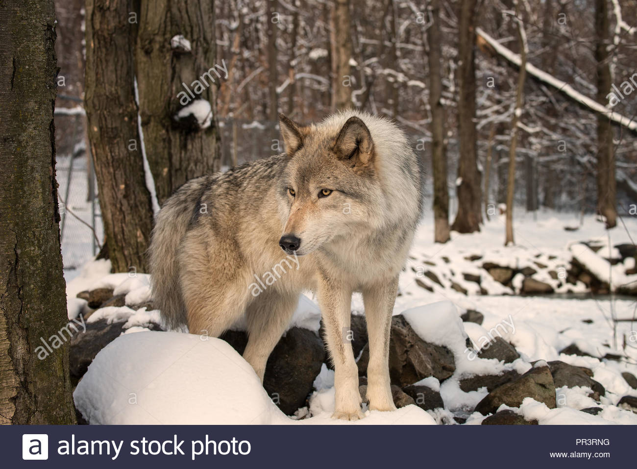 Timber Wolf (also known as a Gray Wolf or Grey Wolf) in the snow - Stock Image