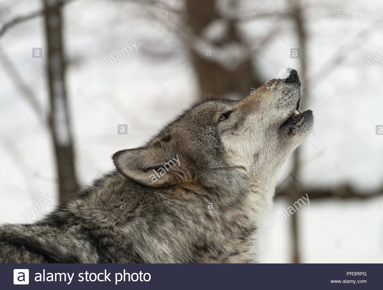 Timber Wolf (also known as a Gray Wolf or Grey Wolf) howling in the snow - Stock Image