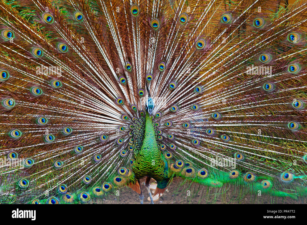 Portrait of wild male peacock with fanned colorful train. Green peafowl display tail with blue and gold iridescent feather. Bird plumage background - Stock Image