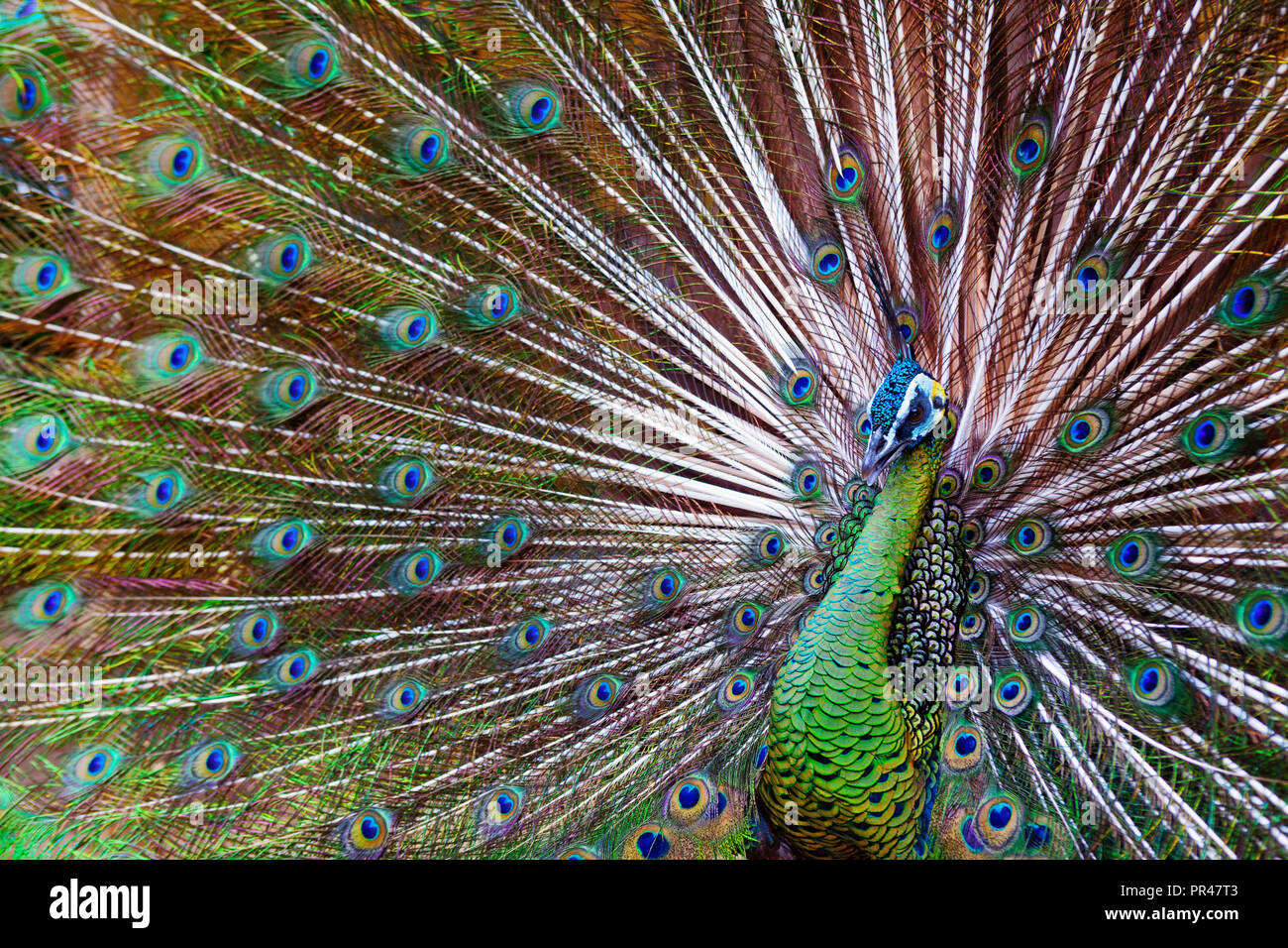 Portrait of wild male peacock with fanned colorful train. Green Asiatic peafowl display tail with blue and gold iridescent feather. Bird plumage - Stock Image