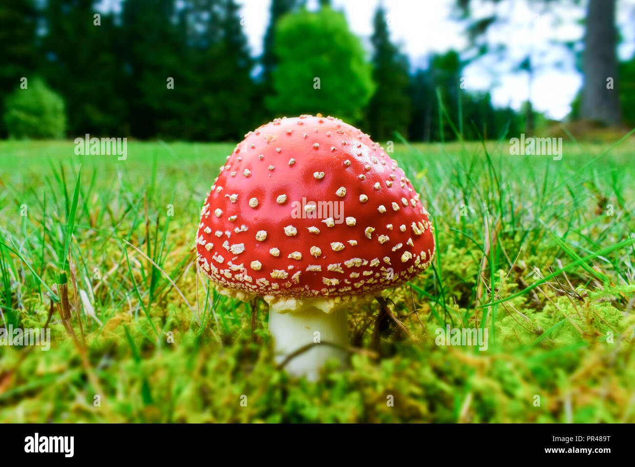 Amanita muscaria, commonly known as the fly agaric or fly amanita, is a basidiomycete mushroom, one of many in the genus Amanita. Stock Photo