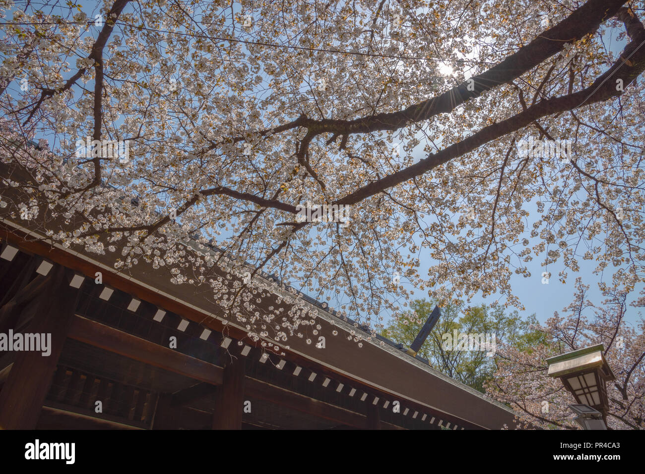 Cherry blossom at Yasukuni Shrine. a famous Tourist spot in Tokyo, Japan. - Stock Image