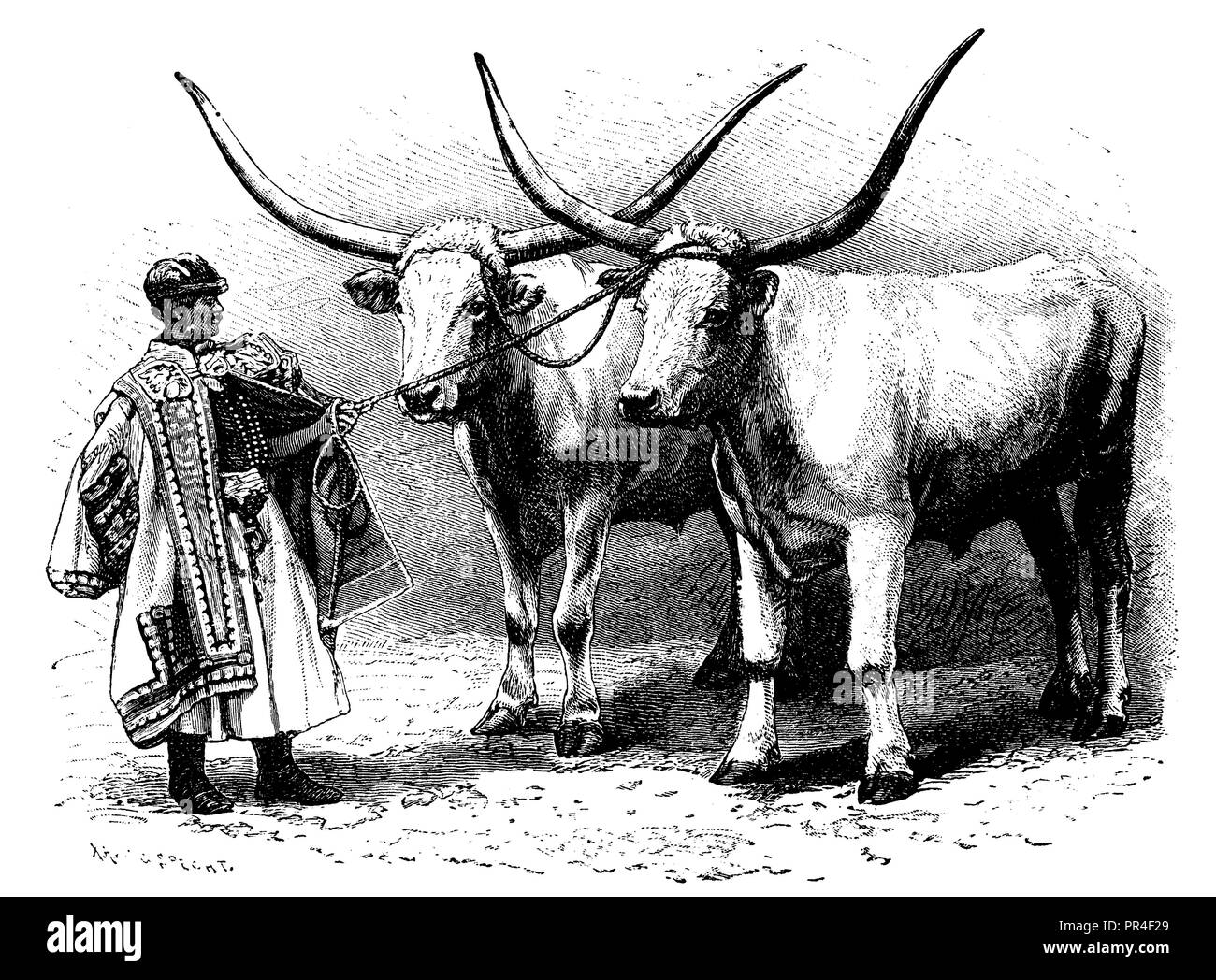 Steppe Cattle, Hungarian-Podolian Ox, Hungarian Steppe Cattle, C. G. Specht  1898 Stock Photo