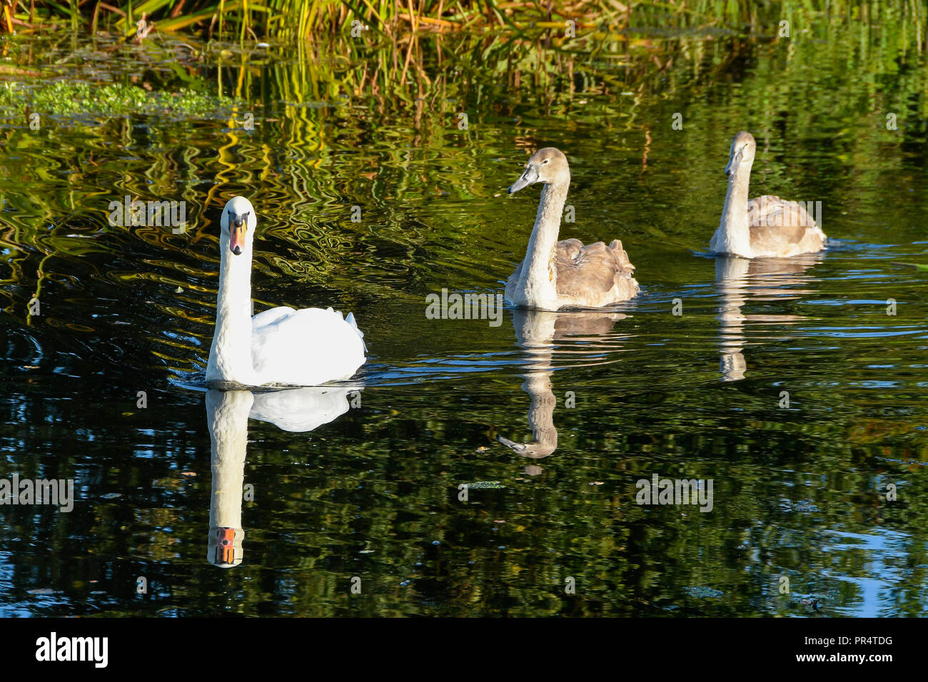 Uk Weather Swans Swimming Along The Bridgwater And Taunton Cnear Hedging In Somerset Reflected In The Calm Water On A Day Of Sunshine And Clear