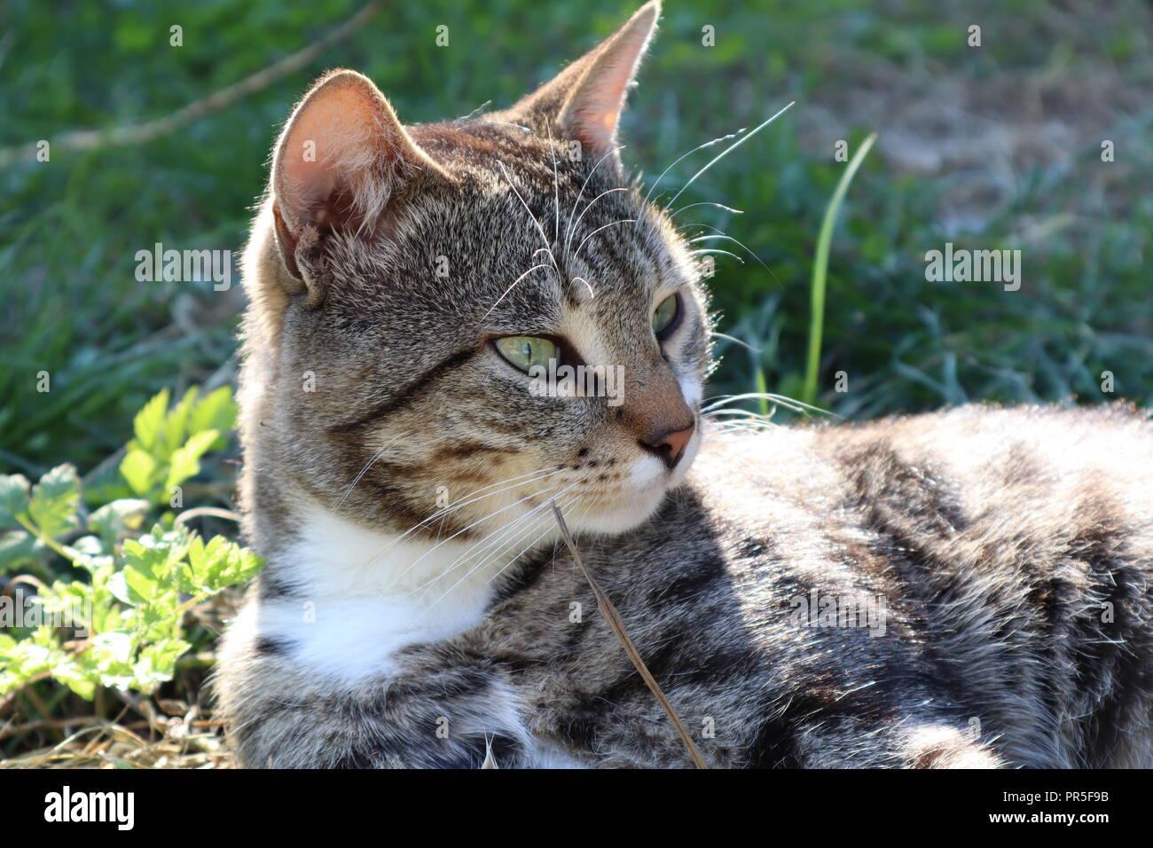 Gray cat basking in the sun - Stock Image