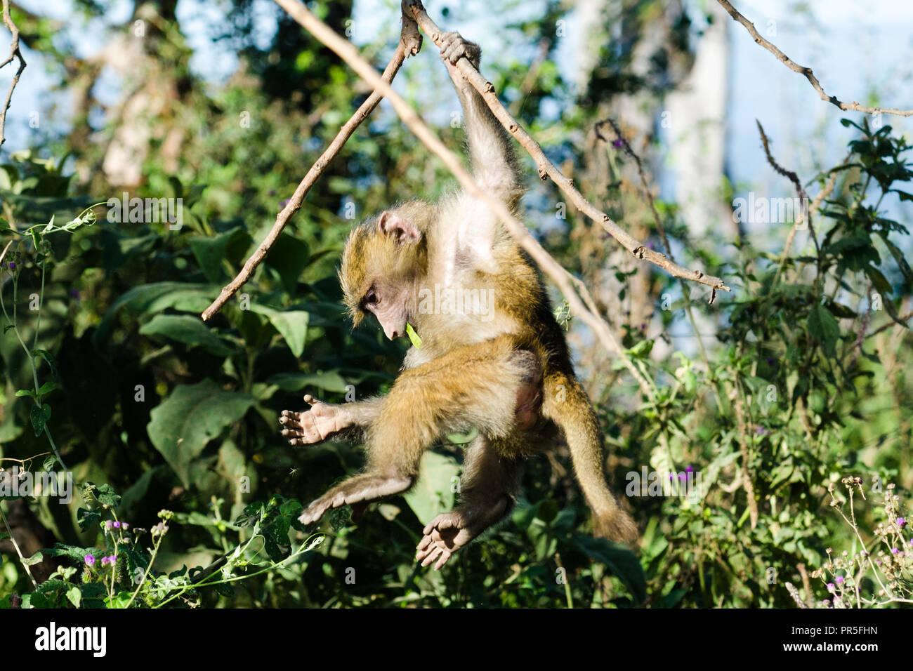 Young olive baboon (Papio Anubis) hanging from tree branches, Lake Nakuru, Kenya - Stock Image
