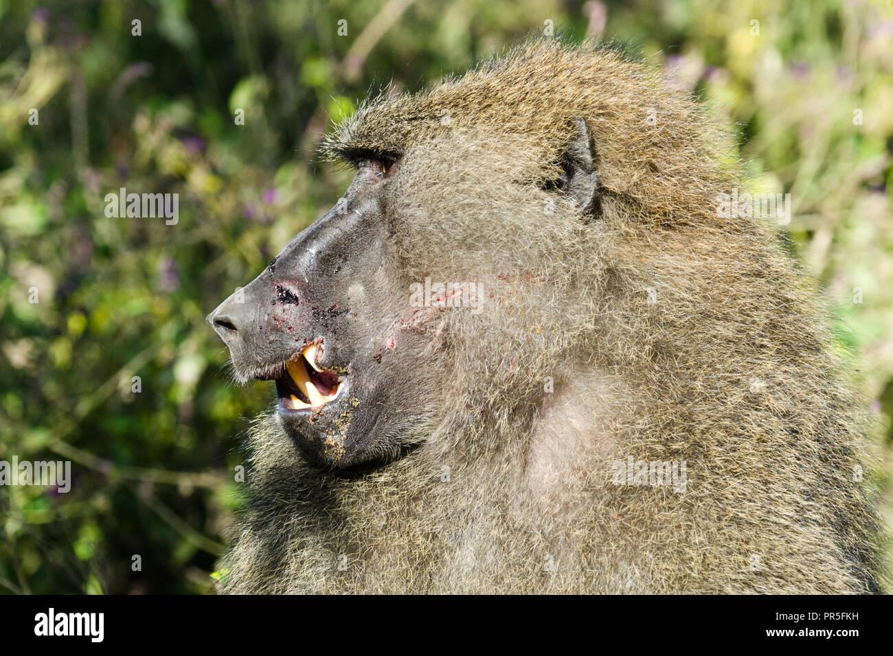 Scarred face of an olive baboon (Papio Anubis), Lake Nakuru, Kenya - Stock Image