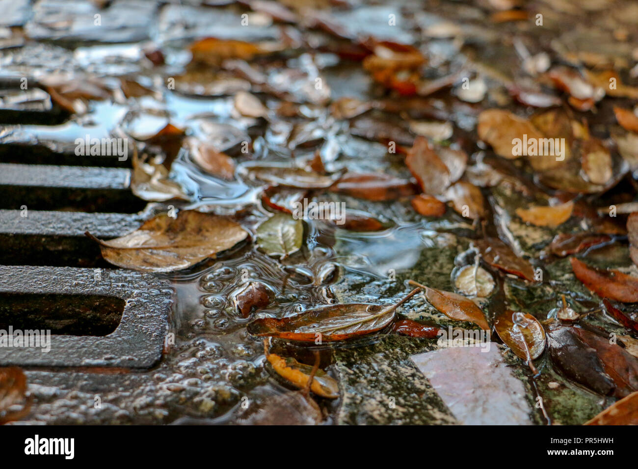 Wet autumn leaves in puddle near drain. Stock Photo