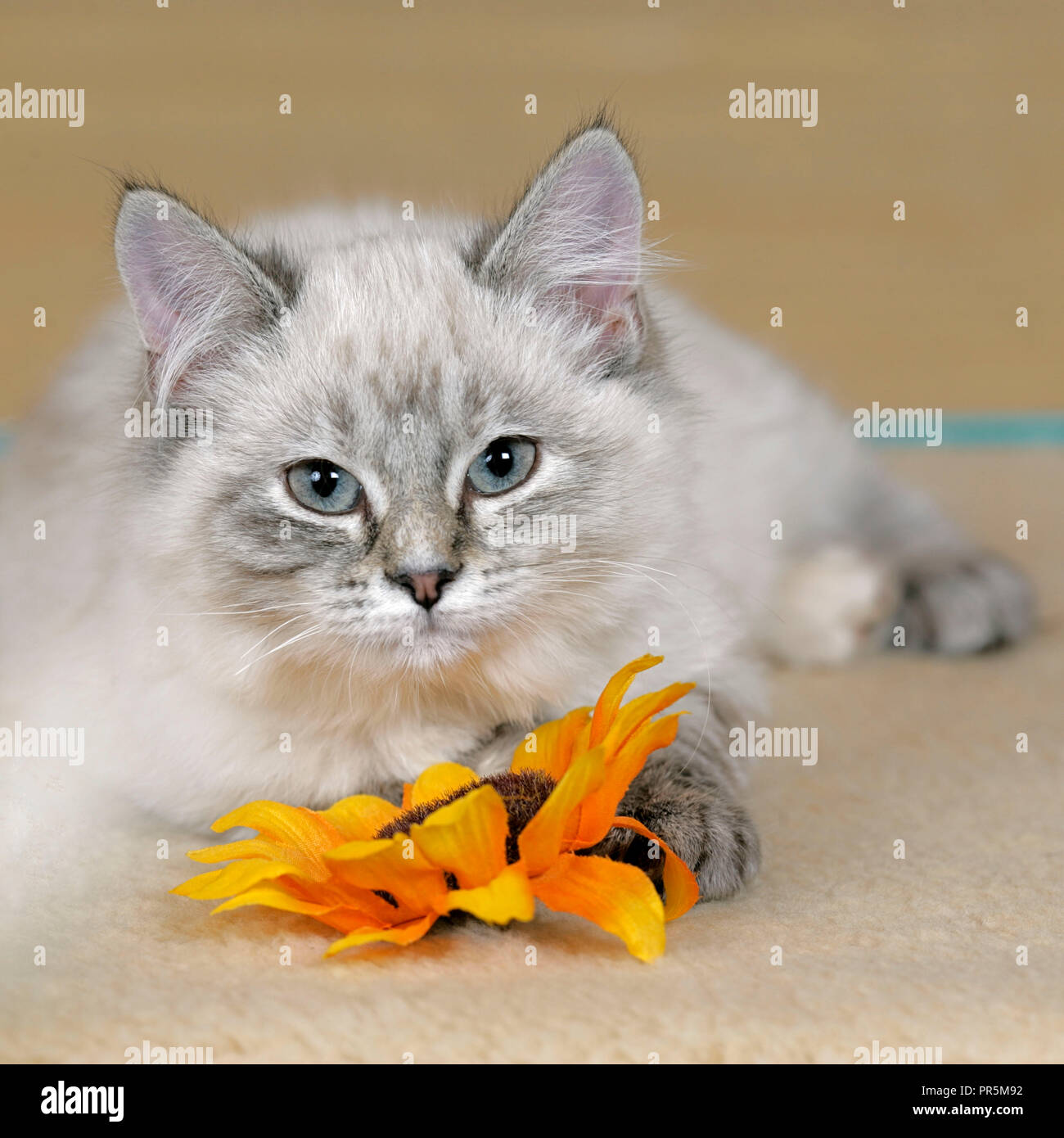 Cute tabby  Kitten, playing with flower in house, - Stock Image