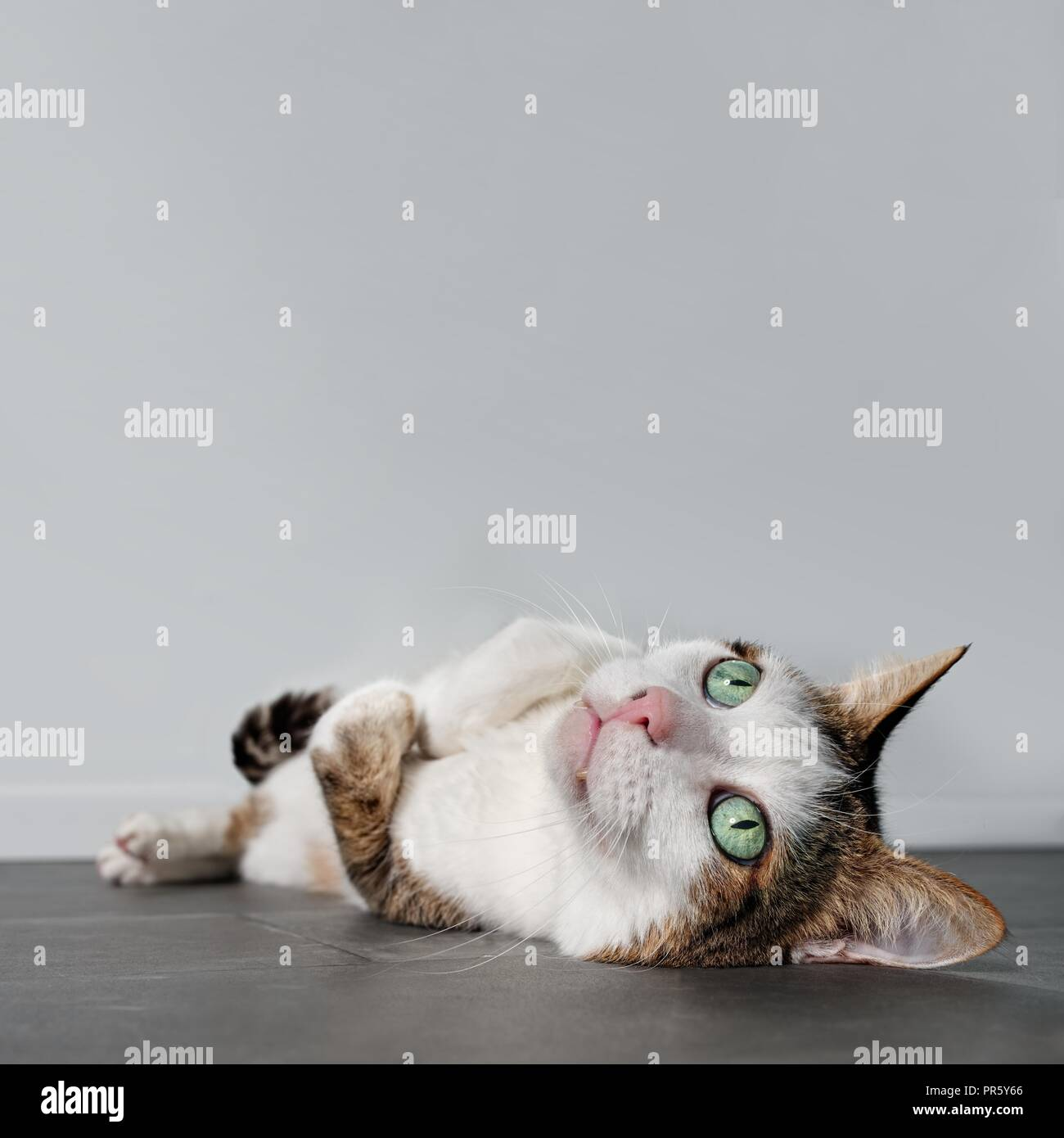 Satisfied tabby cat laying relaxed down on the ground and looking up. - Stock Image