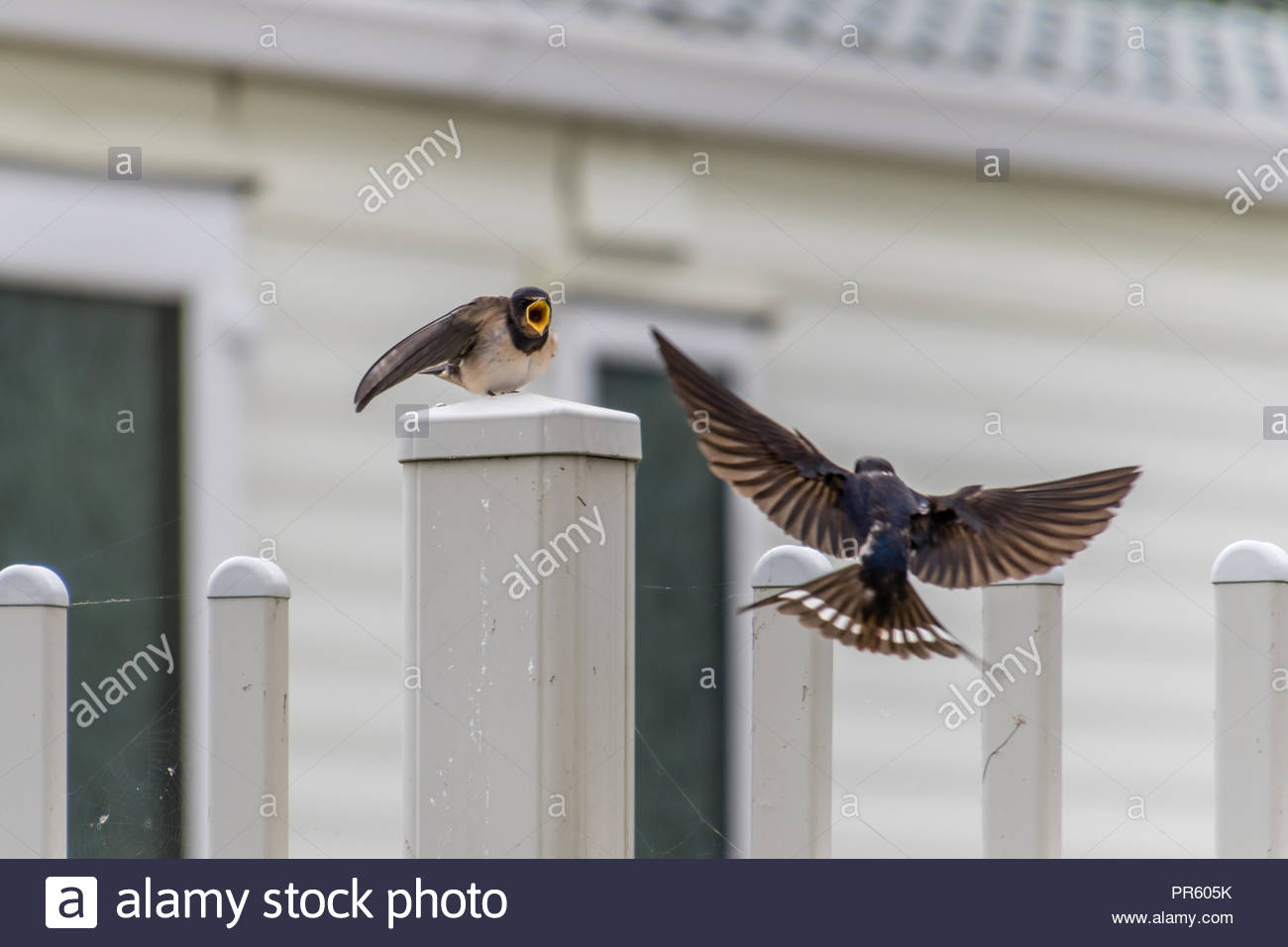 Young Swallow Waiting for Food - Stock Image