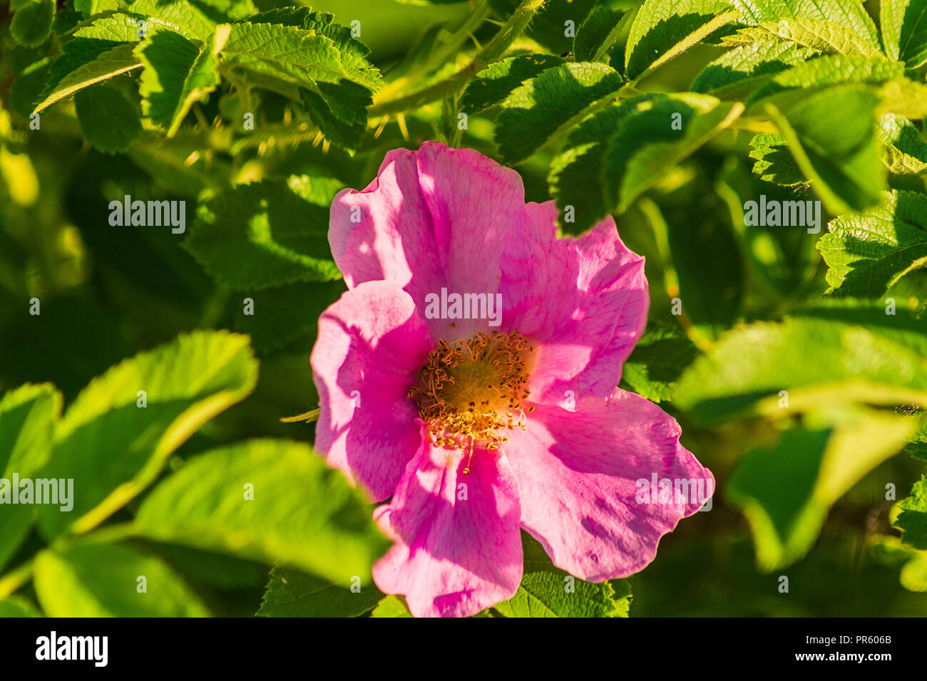 Dog Rose Pink Flower In The Bush In The Garden Spring Stock Photo