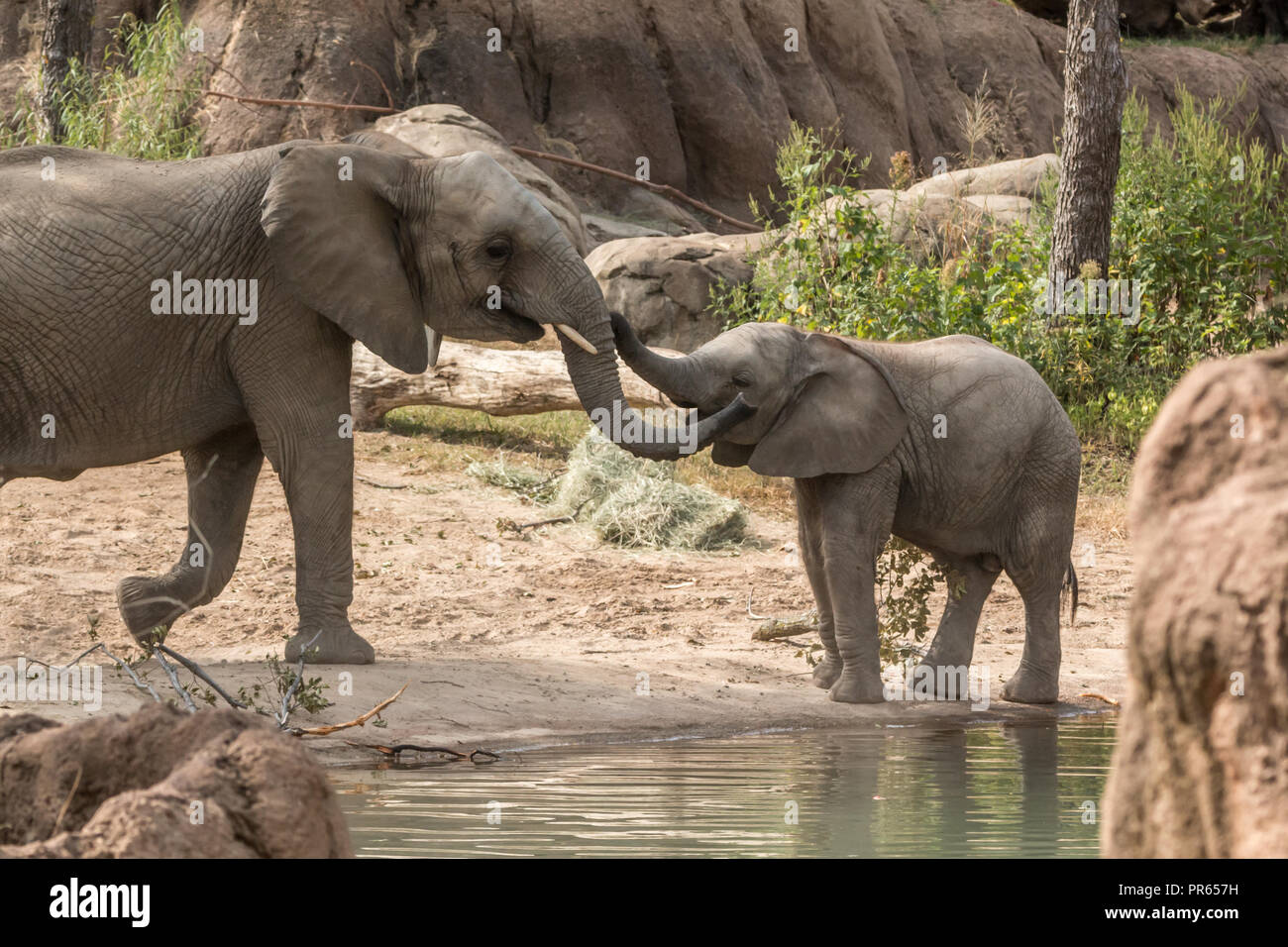 Mother and baby elephant at Dallas Zoo - Stock Image