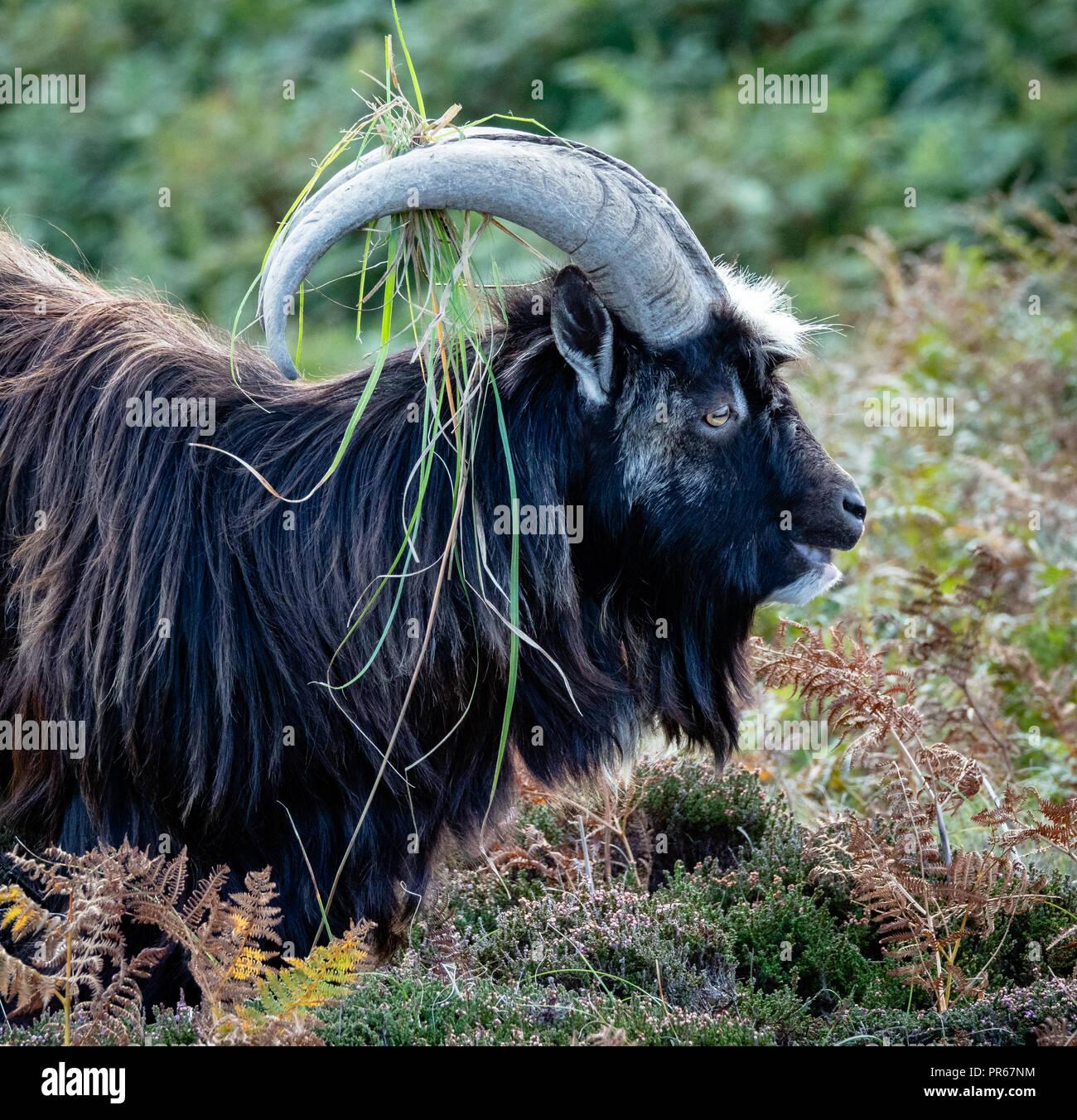Wild goat ram with vegetation decorating his horns on Lundy Island off the coast of Devon UK - Stock Image