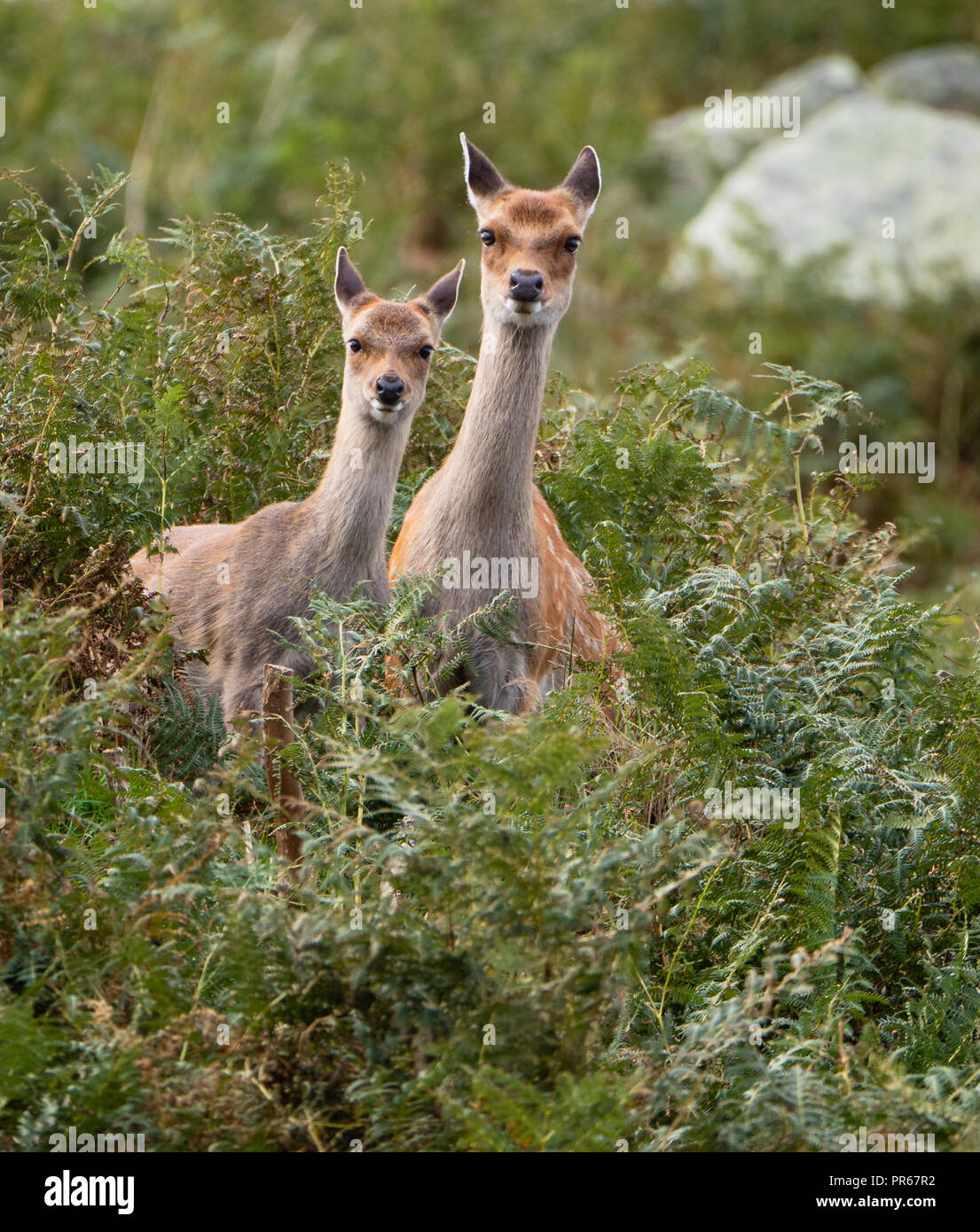 Sika deer Cervus nippon peering out from bracken covered cliffs on the island of Lundy off the north coast of Devon UK - Stock Image
