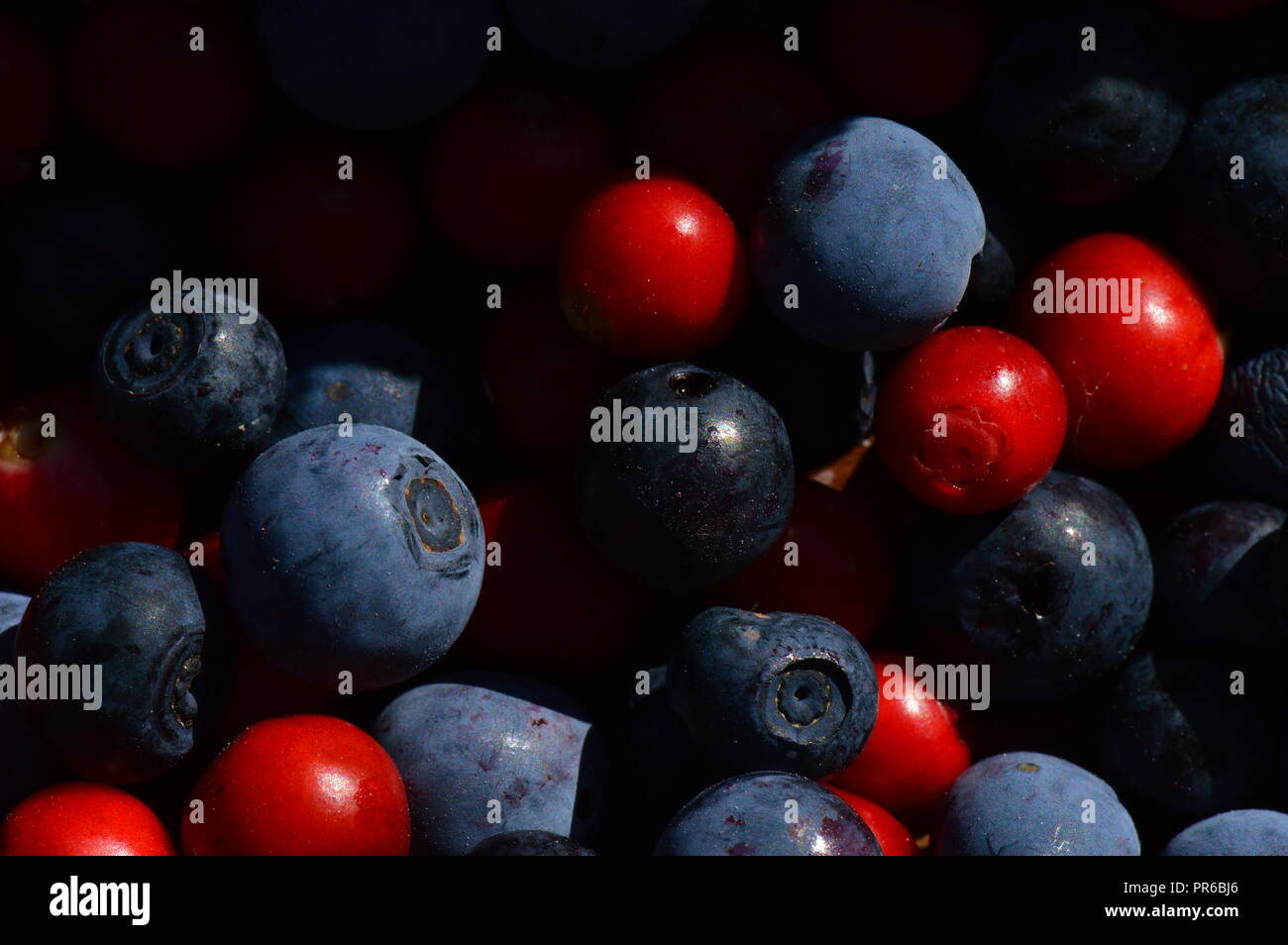 Berries cranberries together with berries of blueberries and marsh blueberries berries background - Stock Image
