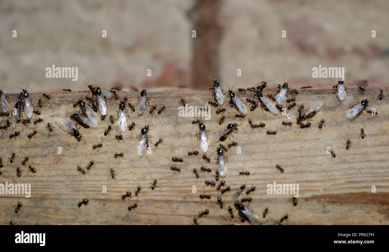 Flying ants about to leave the nest. - Stock Image