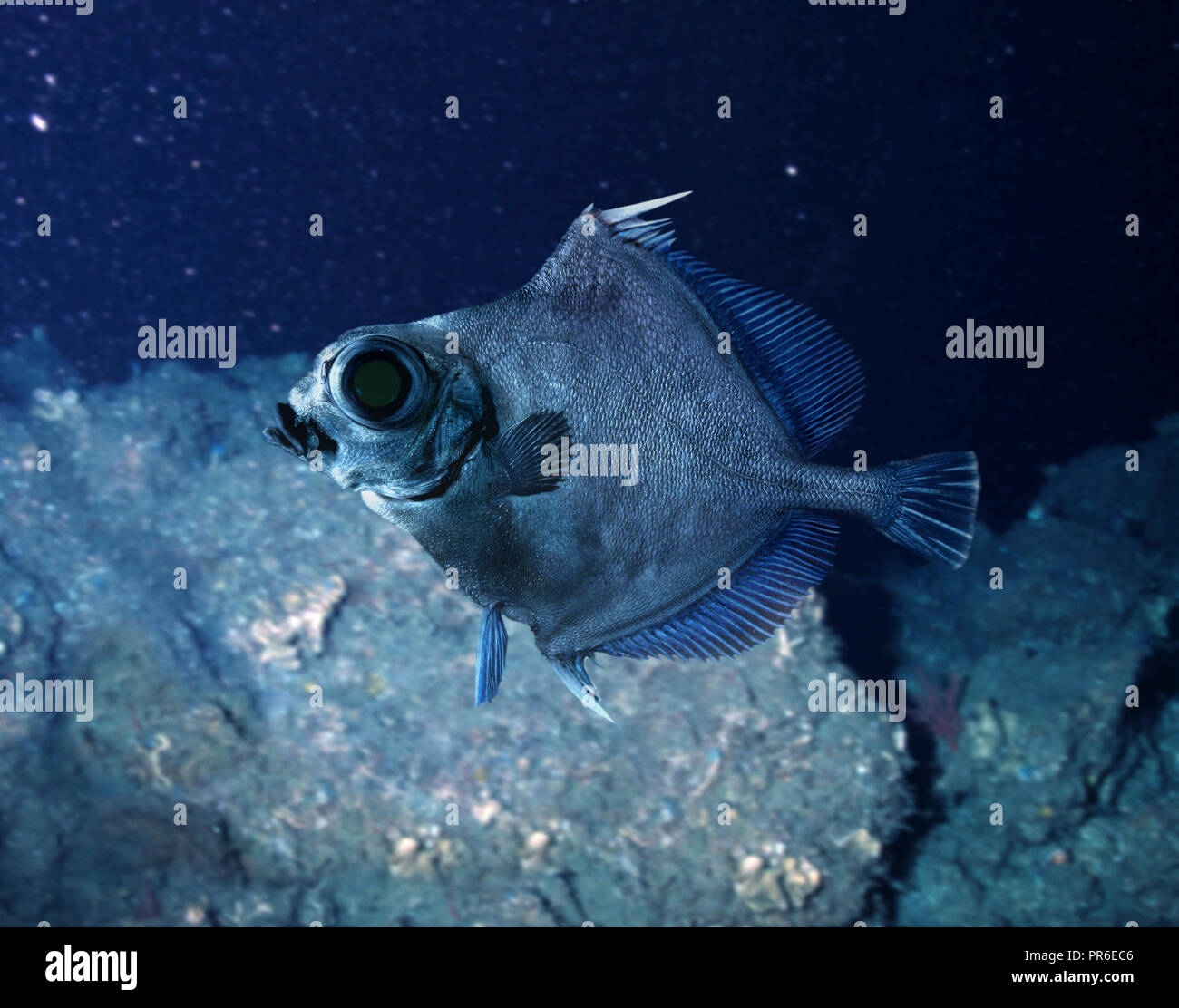 Neocyttus helgae, False boarfish, swimming. Deep sea fish that lives between 900 and 1800 m deep close to seamounts. Were associated with basalt - Stock Image