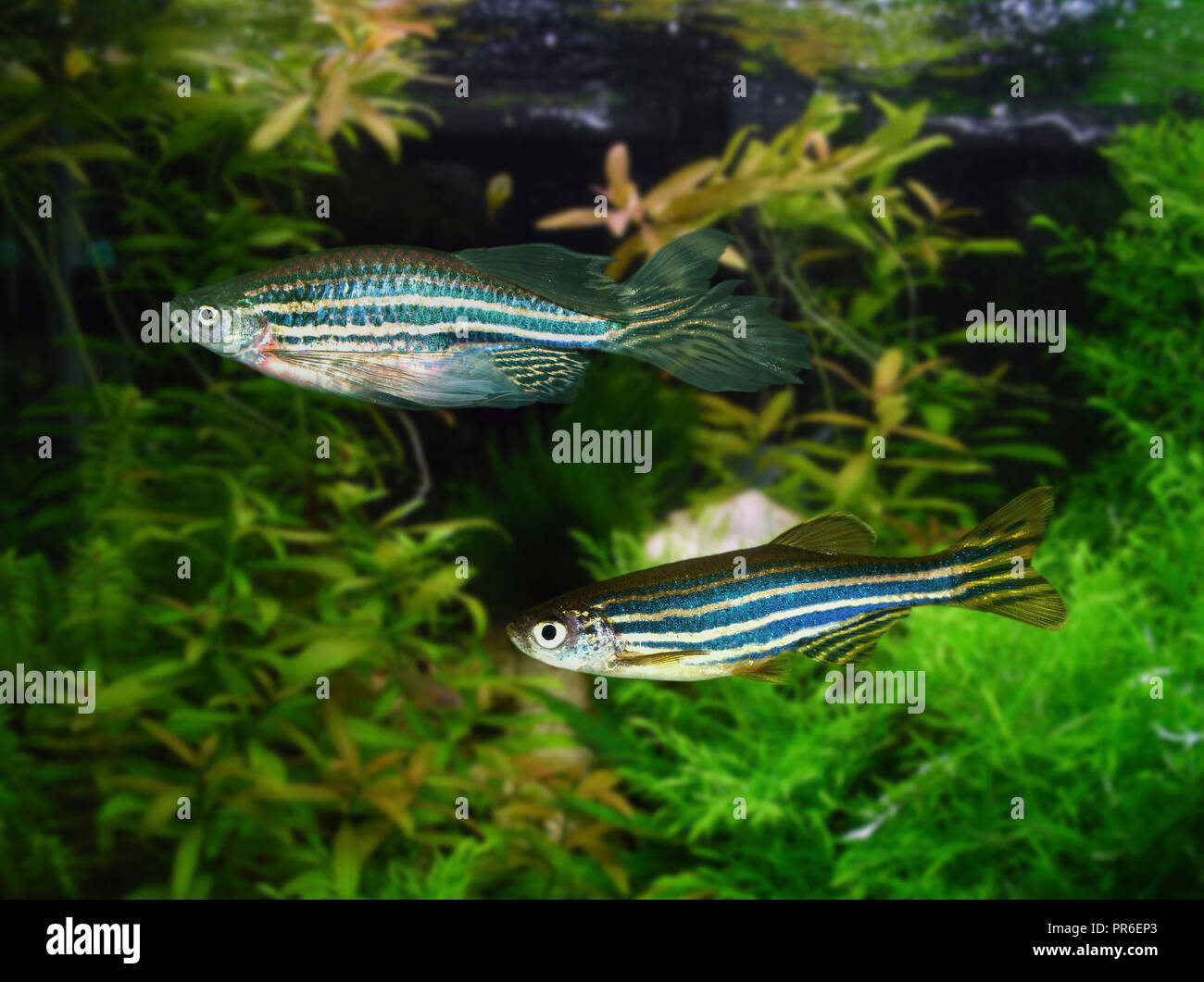 Zebrafish, Danio rerio. Veil fin variety above and regular stripes bellow. Since the 1930s, zebra fish have been a model organism for studying human - Stock Image