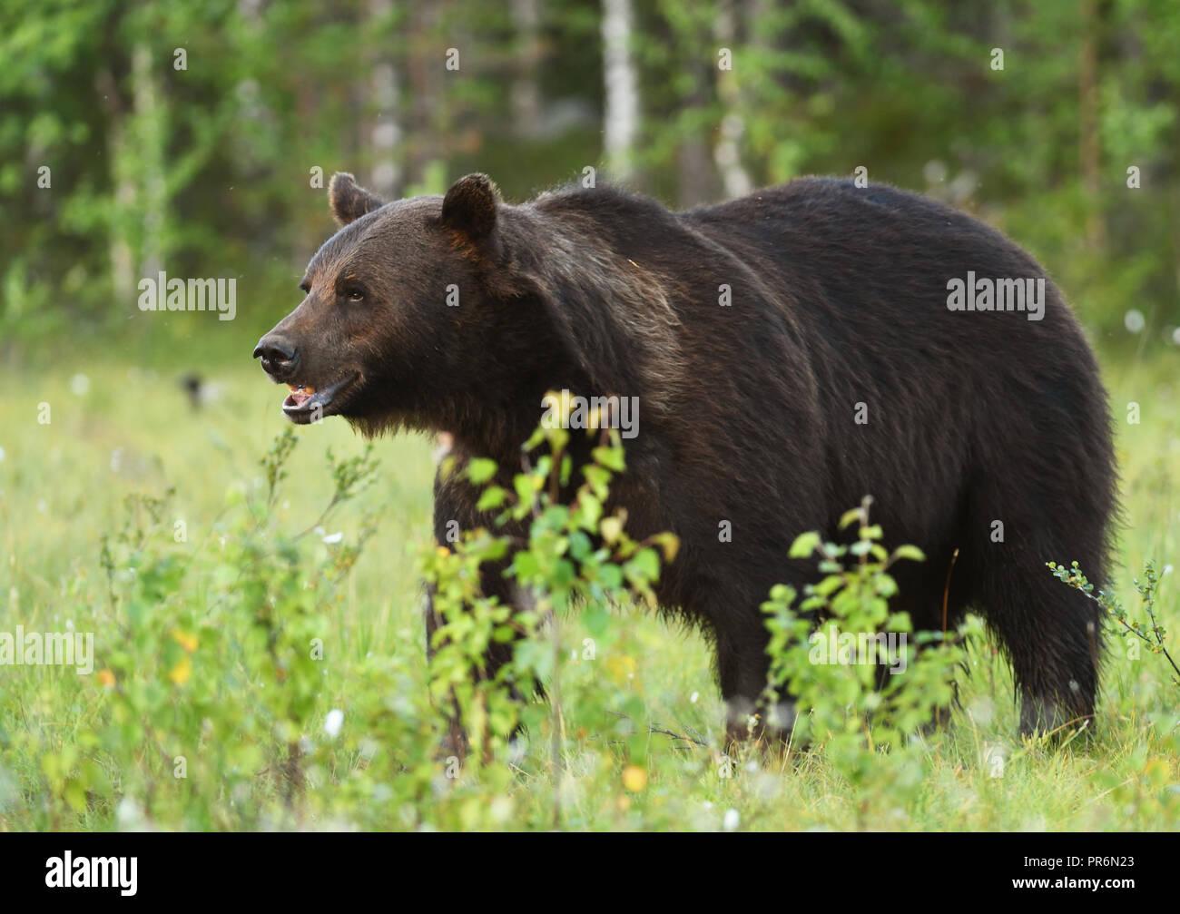Wild brown bear (Ursus arctos) - Stock Image