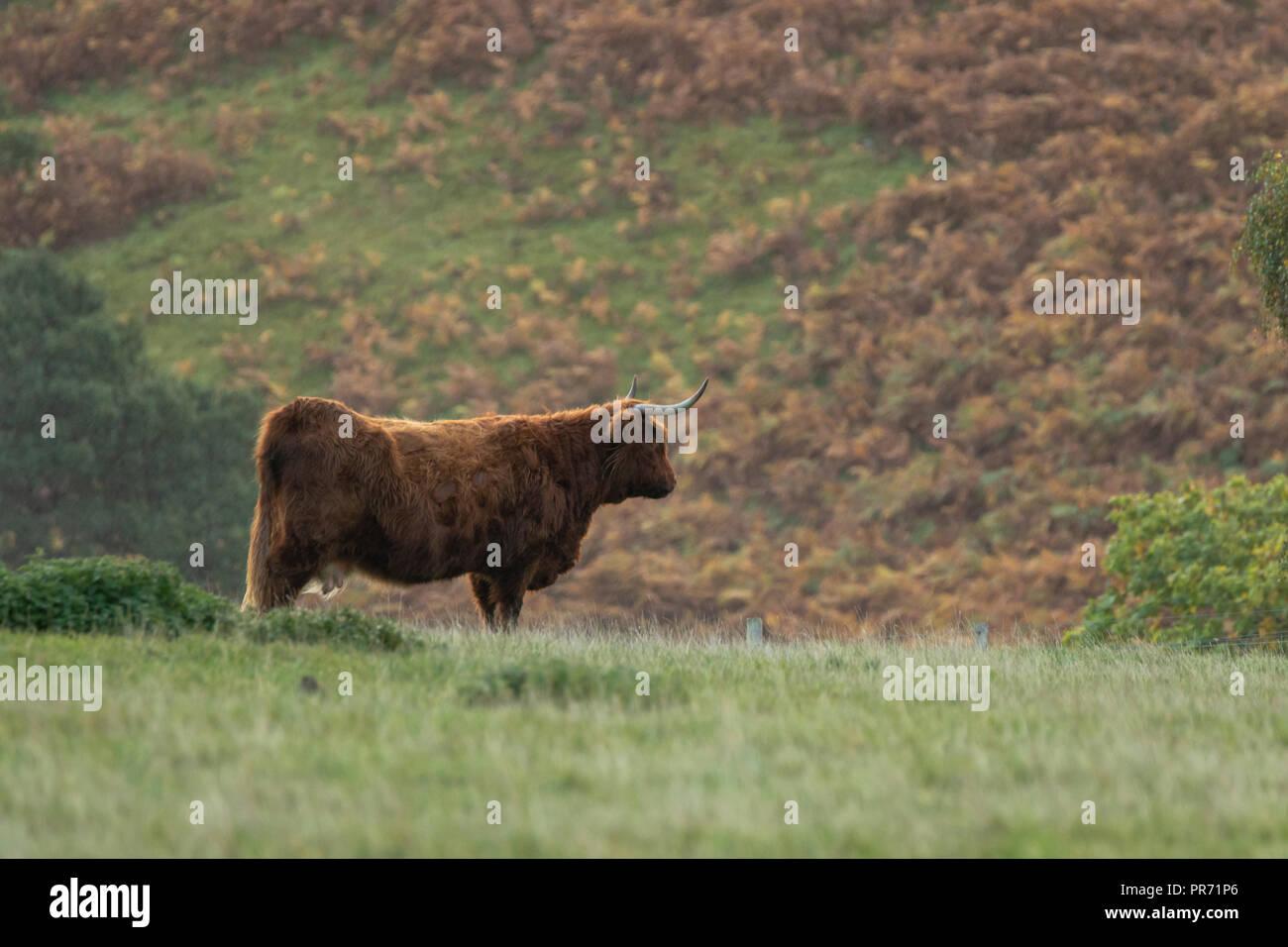 Scottish highland cow bull in field, Scotland UK - Stock Image