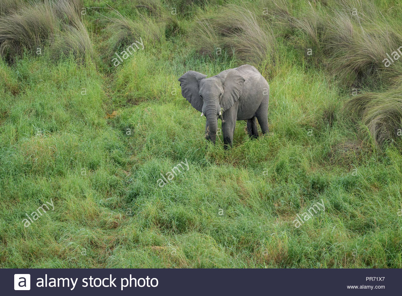 Aerial view of an elephant in the tall savanna grasses in the Okavango Delta, Botswana - Stock Image