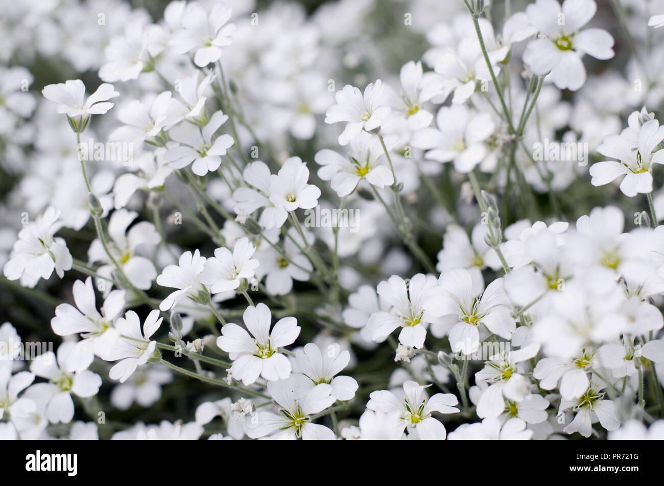 Cerastium Tomentosum In Bloom Beautiful White Flowers Background