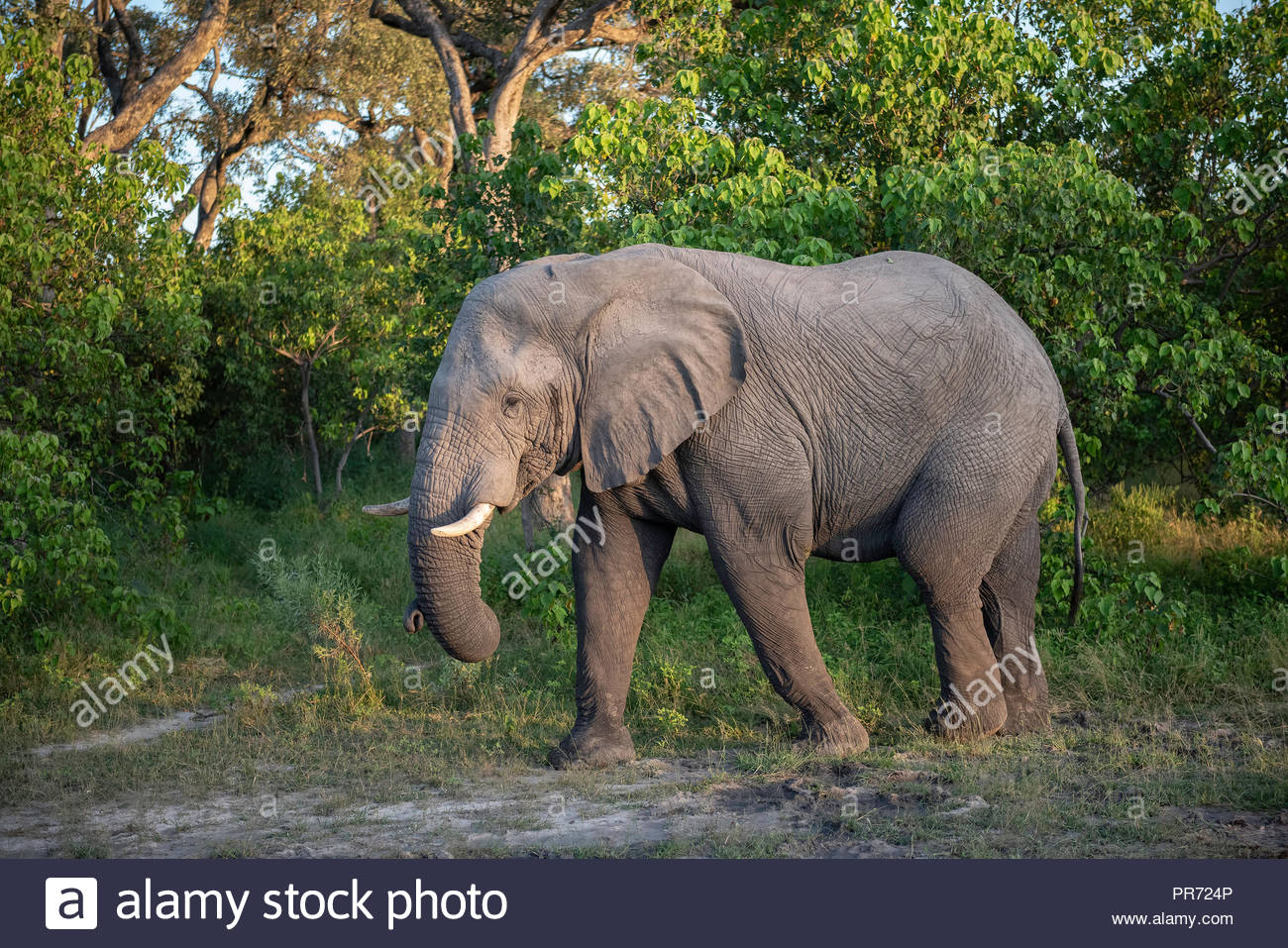 Elephant walking and feeding along the treeline in Botswana - Stock Image