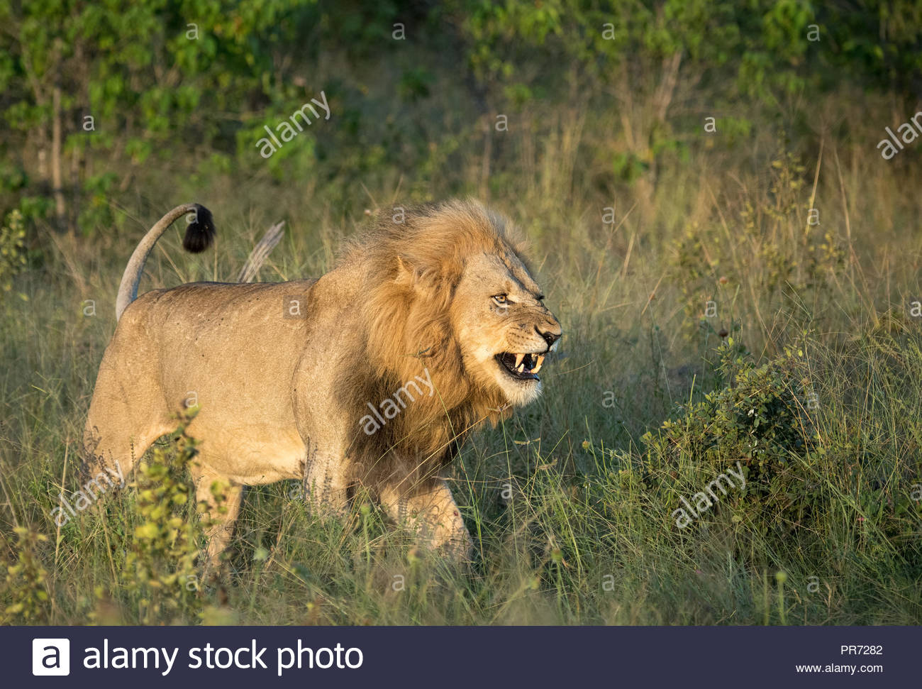 A snarling lion walks through the tall grasses on the Botswana savannah - Stock Image