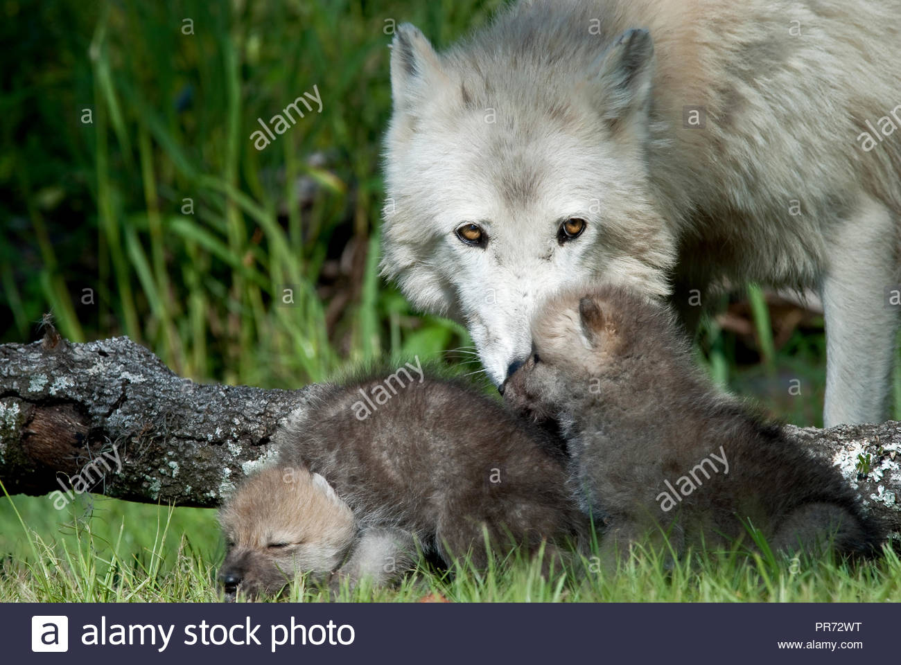 Arctic Wolf Mother Watching Over Puppies - Stock Image