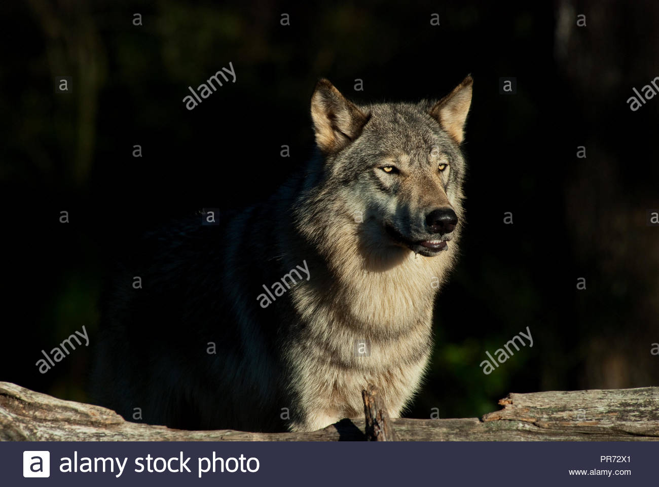 Timber Wolf (also known as a Gray Wolf or Grey Wolf) Surrounded by Shadows - Stock Image