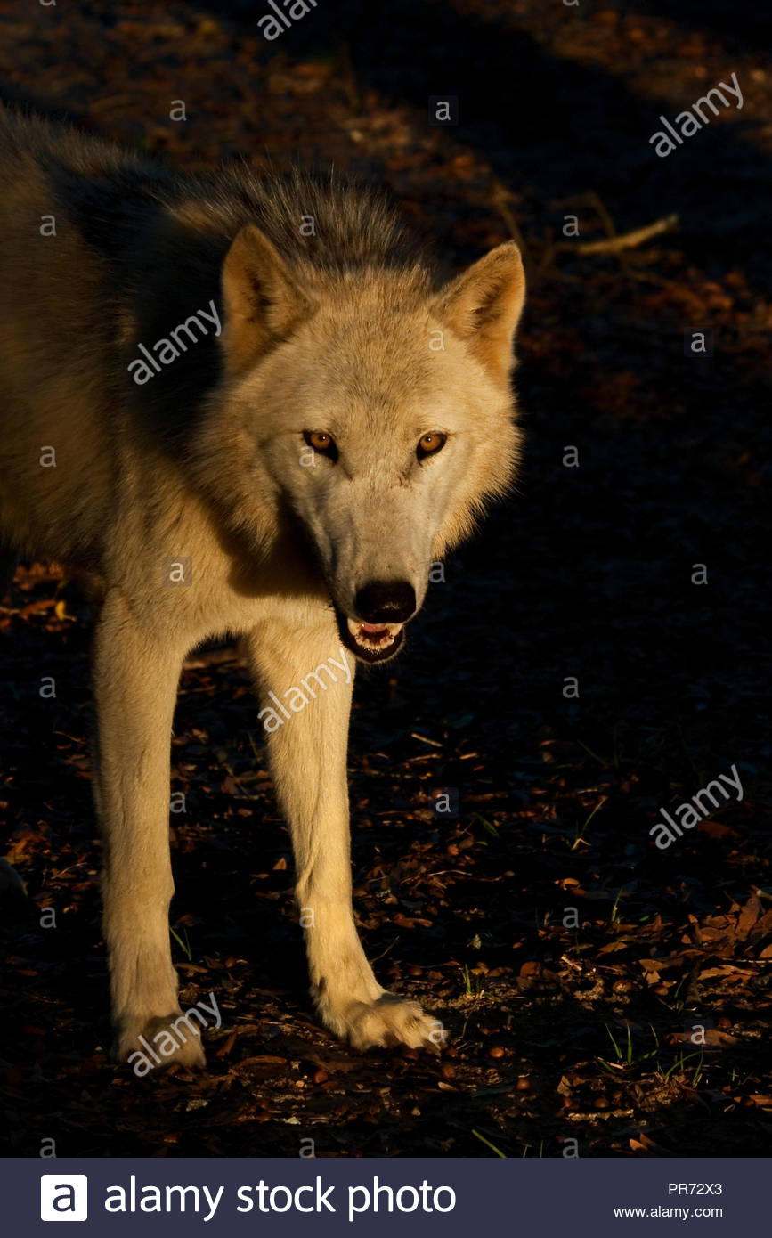 White Timber Wolf (also known as a Gray Wolf or Grey Wolf) standing in the golden last light of the day, surrounded by shadows - Stock Image