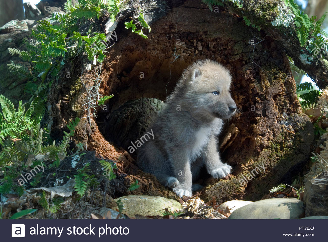 Arctic Wolf Pup in a Log - Stock Image
