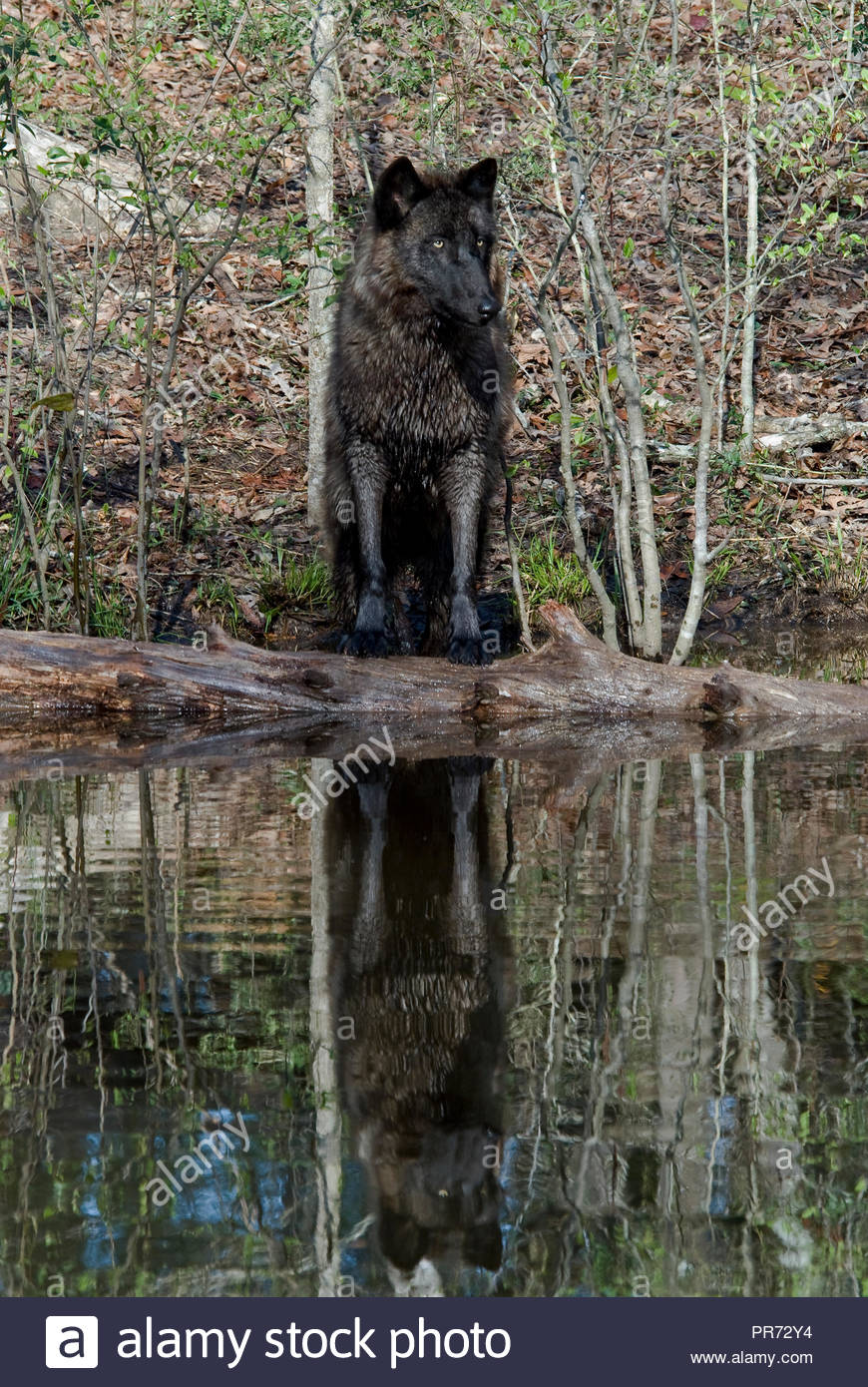 British Columbian Wolf Reflected in Pond - Stock Image